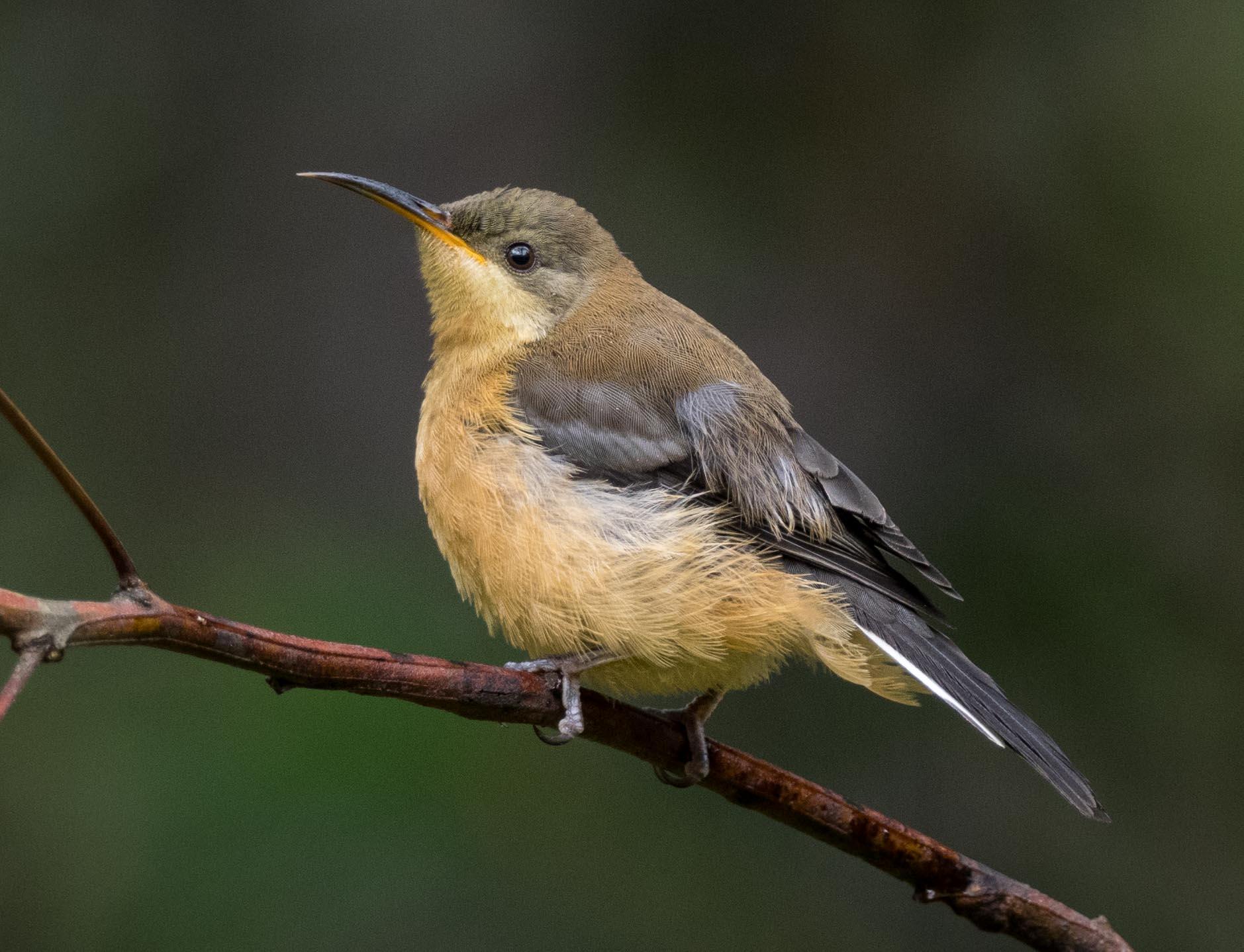 Eastern Spinebill (juvenile)