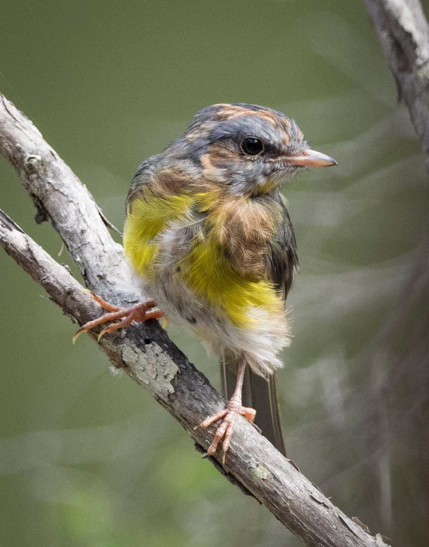 Eastern Yellow Robin (immature)