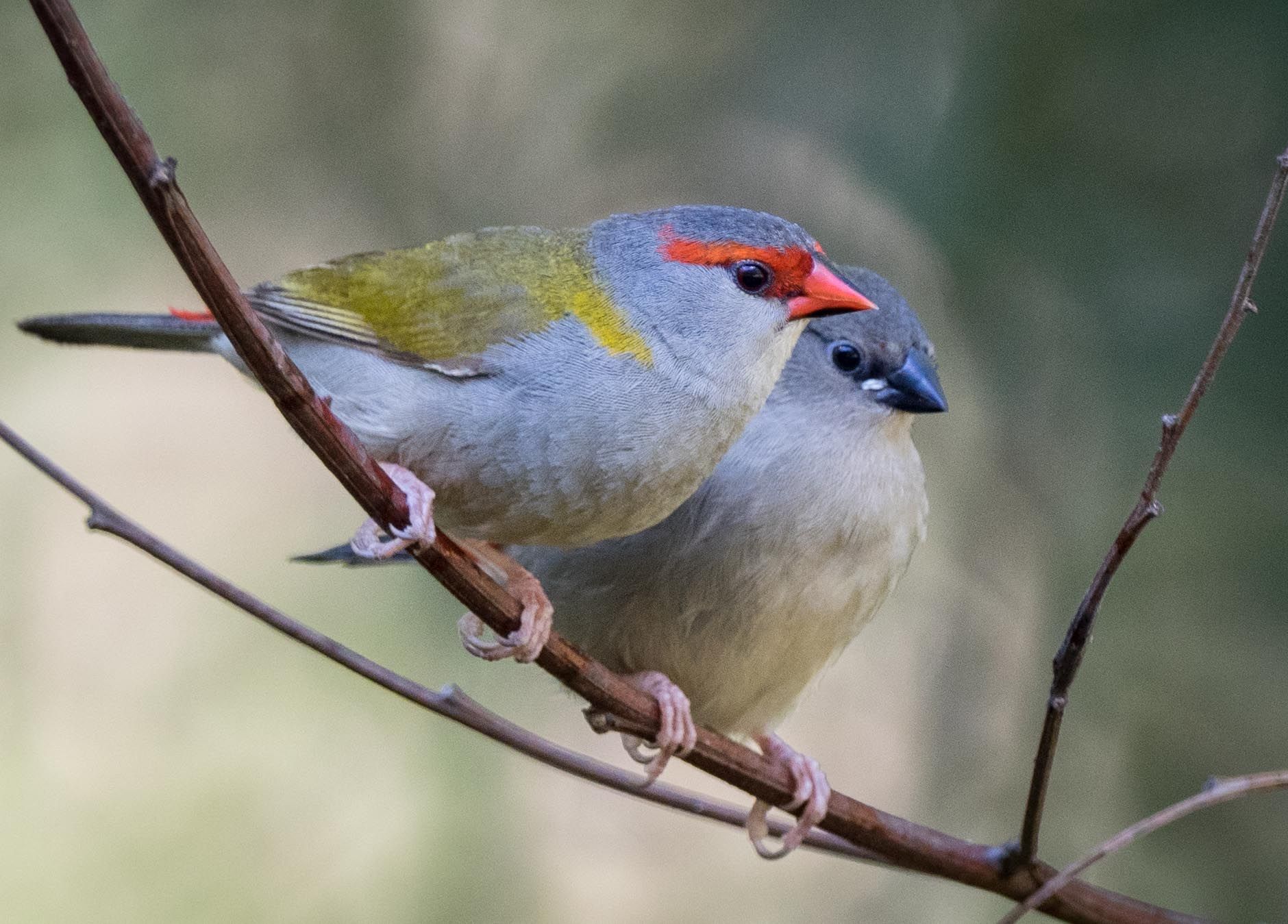 Red-browed Finch (adult & juvenile)