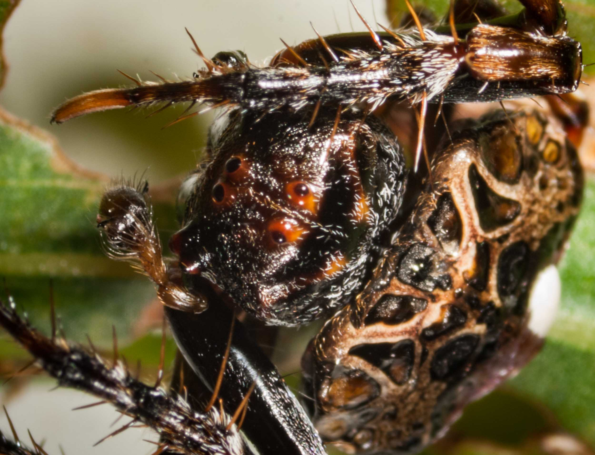 Swollen pedipalps - give away that this is a male!