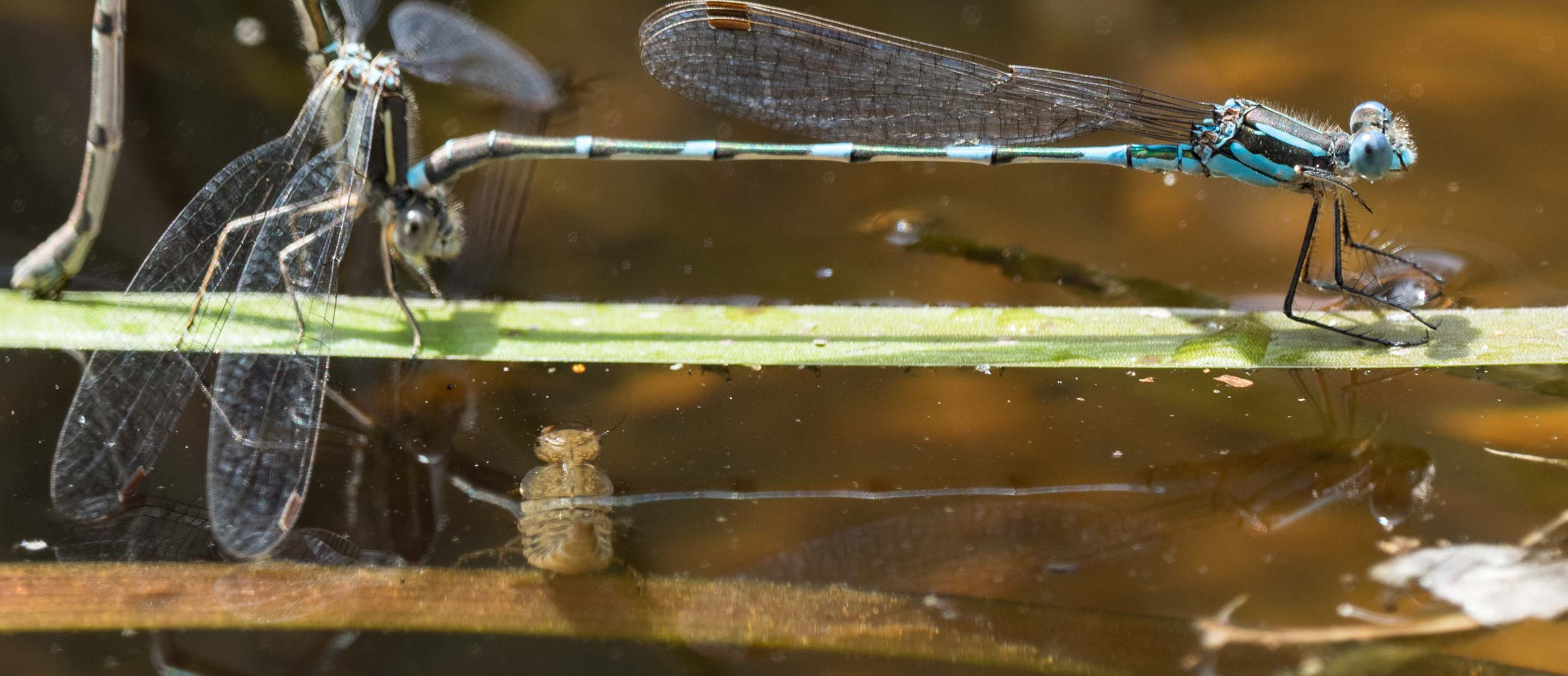 Diving Beetle larva - these voracious predators would be a match for damselfly hatchlings, and may even prey on the eggs.