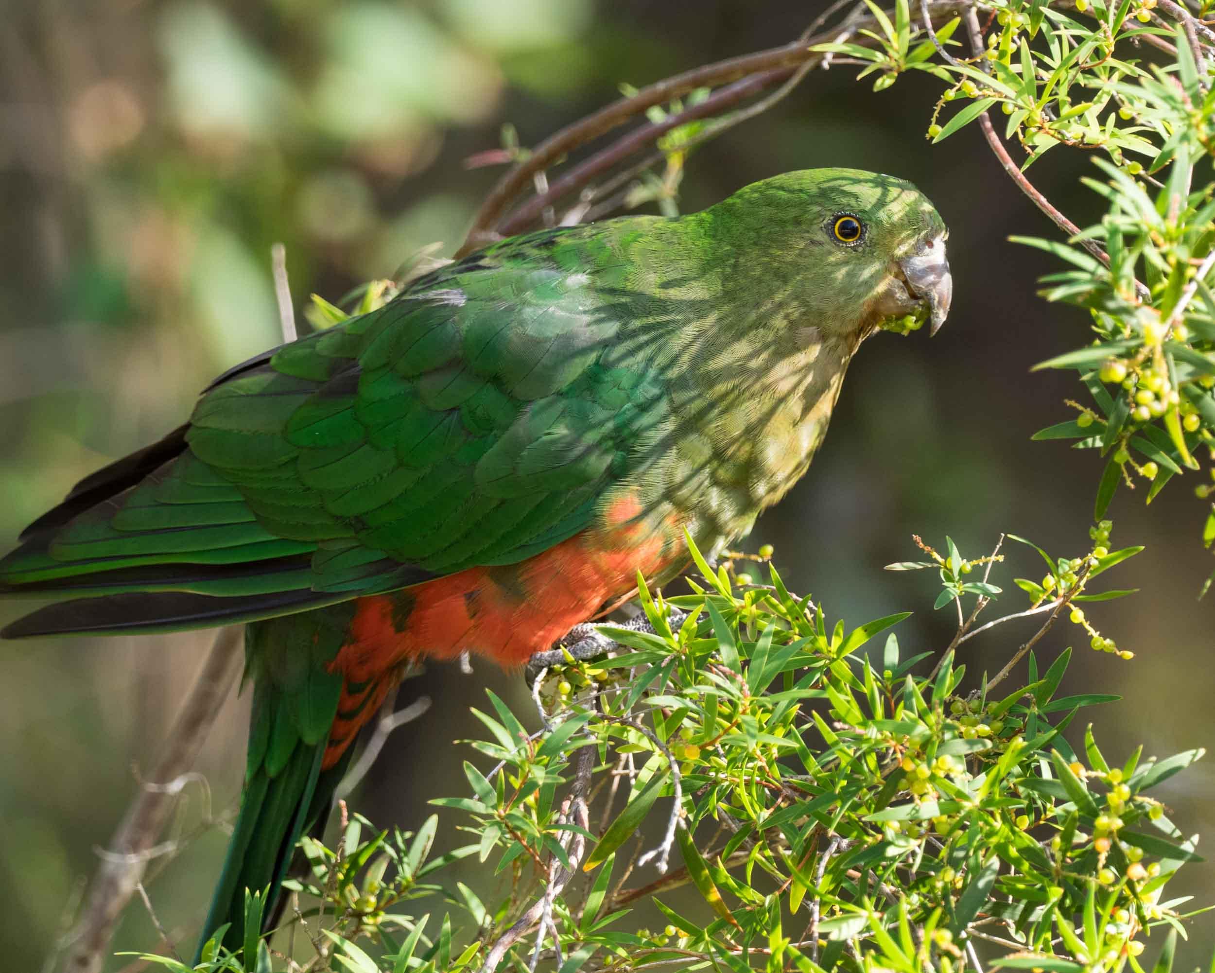 Australian King Parrot (female)