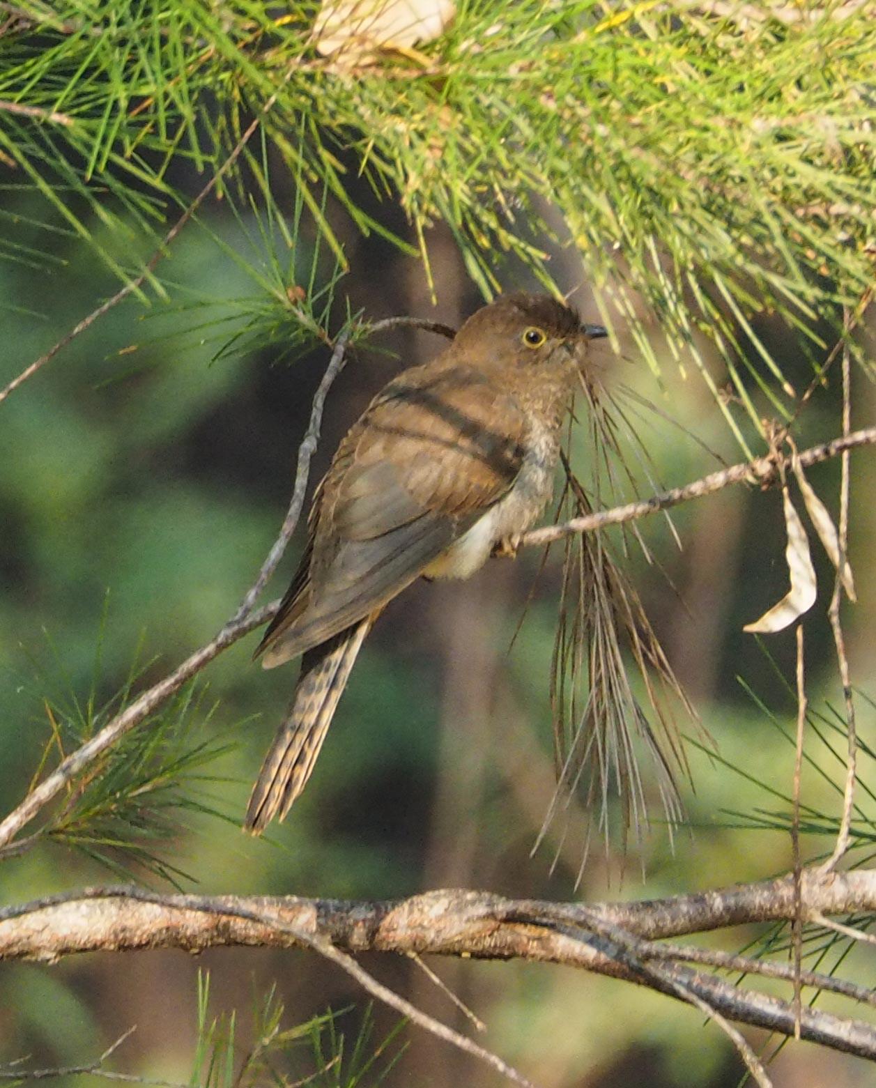 Fan-tailed Cuckoo (juvenile)