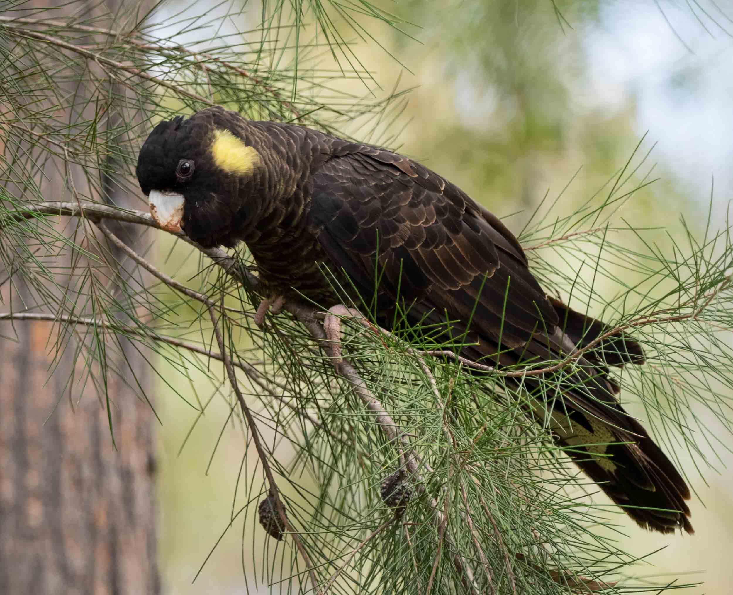 Yellow-tailed Black-Cockatoo (female)