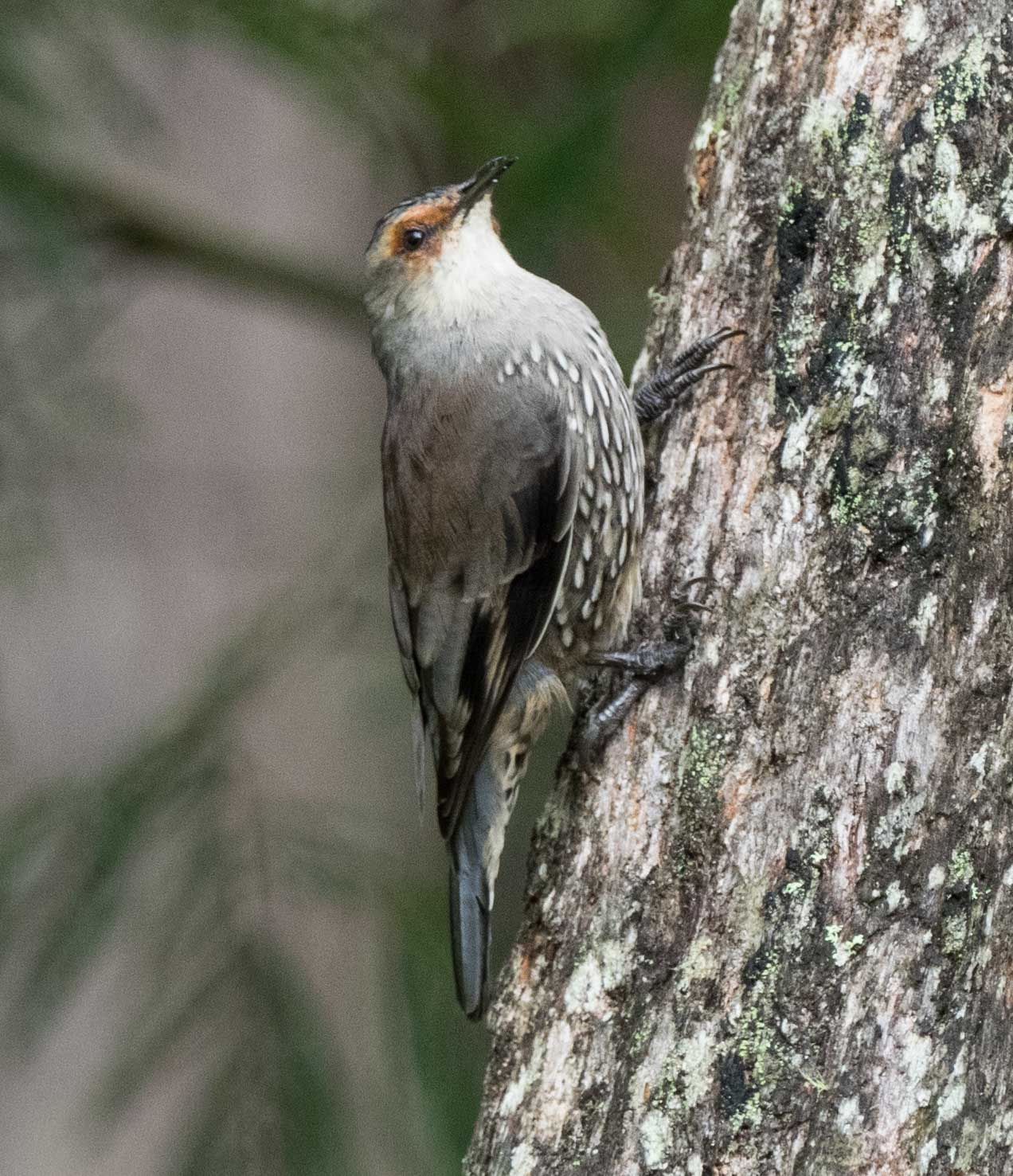 Red-browed Treecreeper (adult)