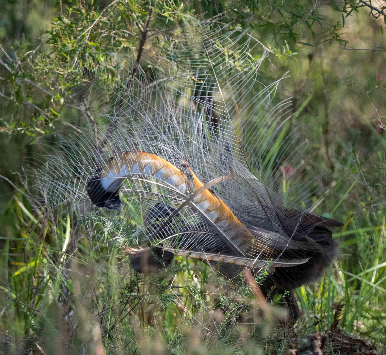 Superb Lyrebird (adult male)
