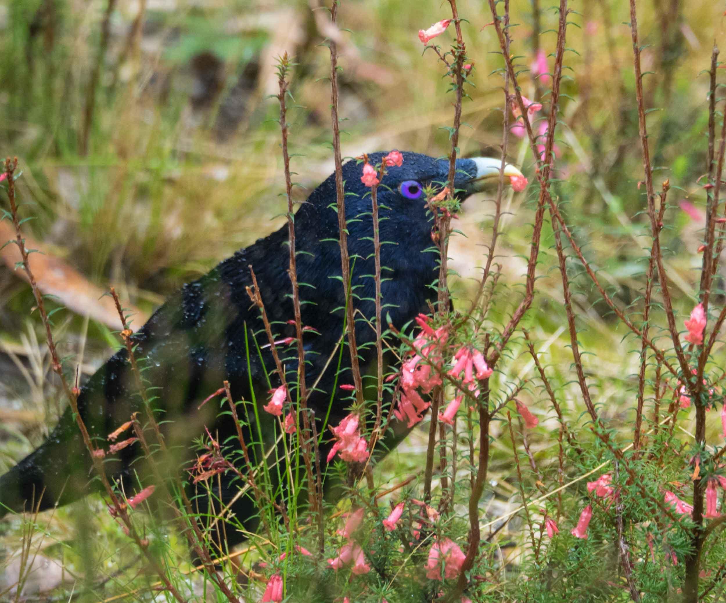 Satin Bowerbird (mature male)