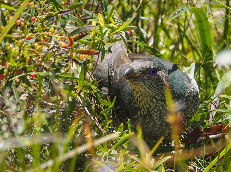 Satin Bowerbird (adult female or immature)