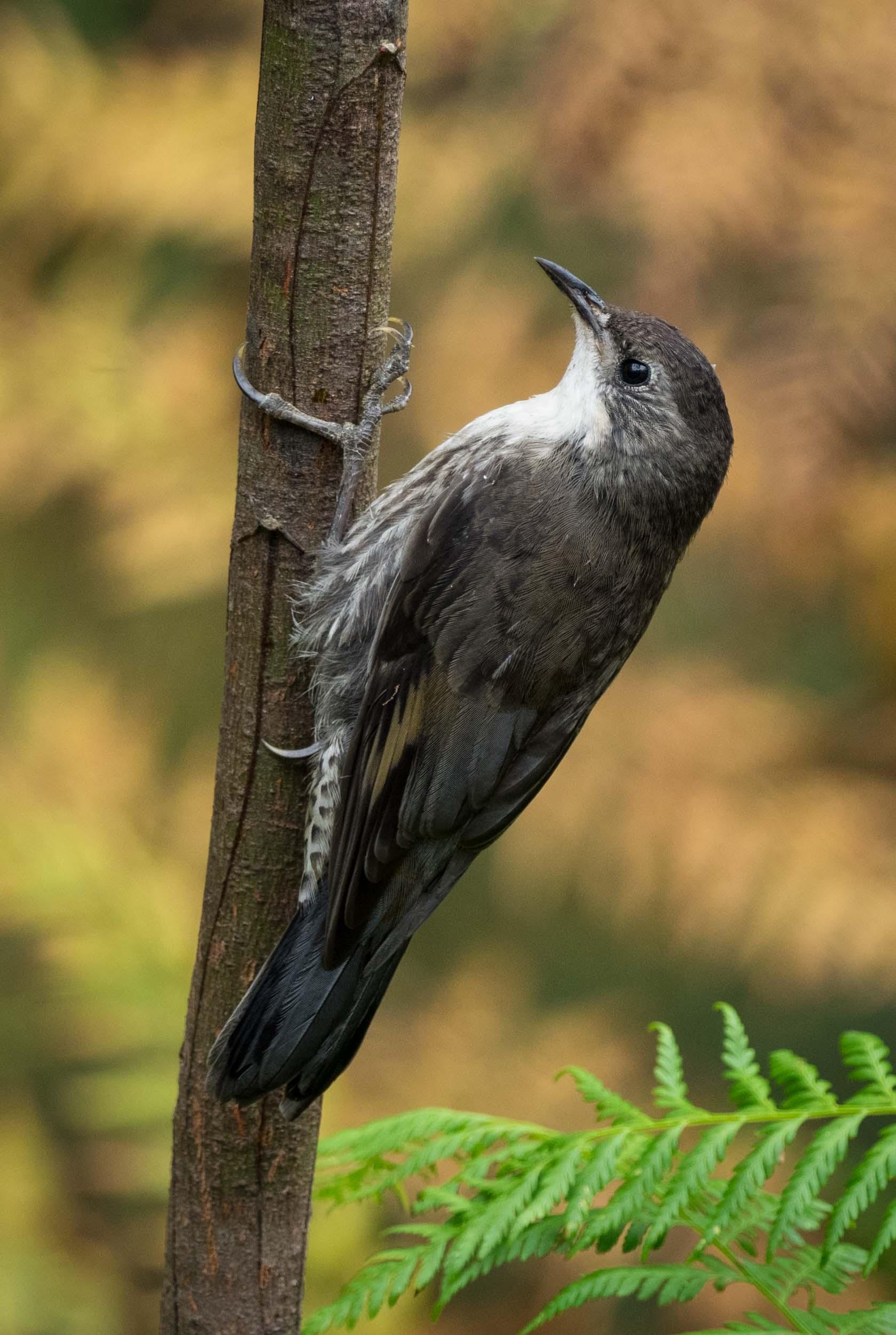 White-throated Treecreeper (adult male)