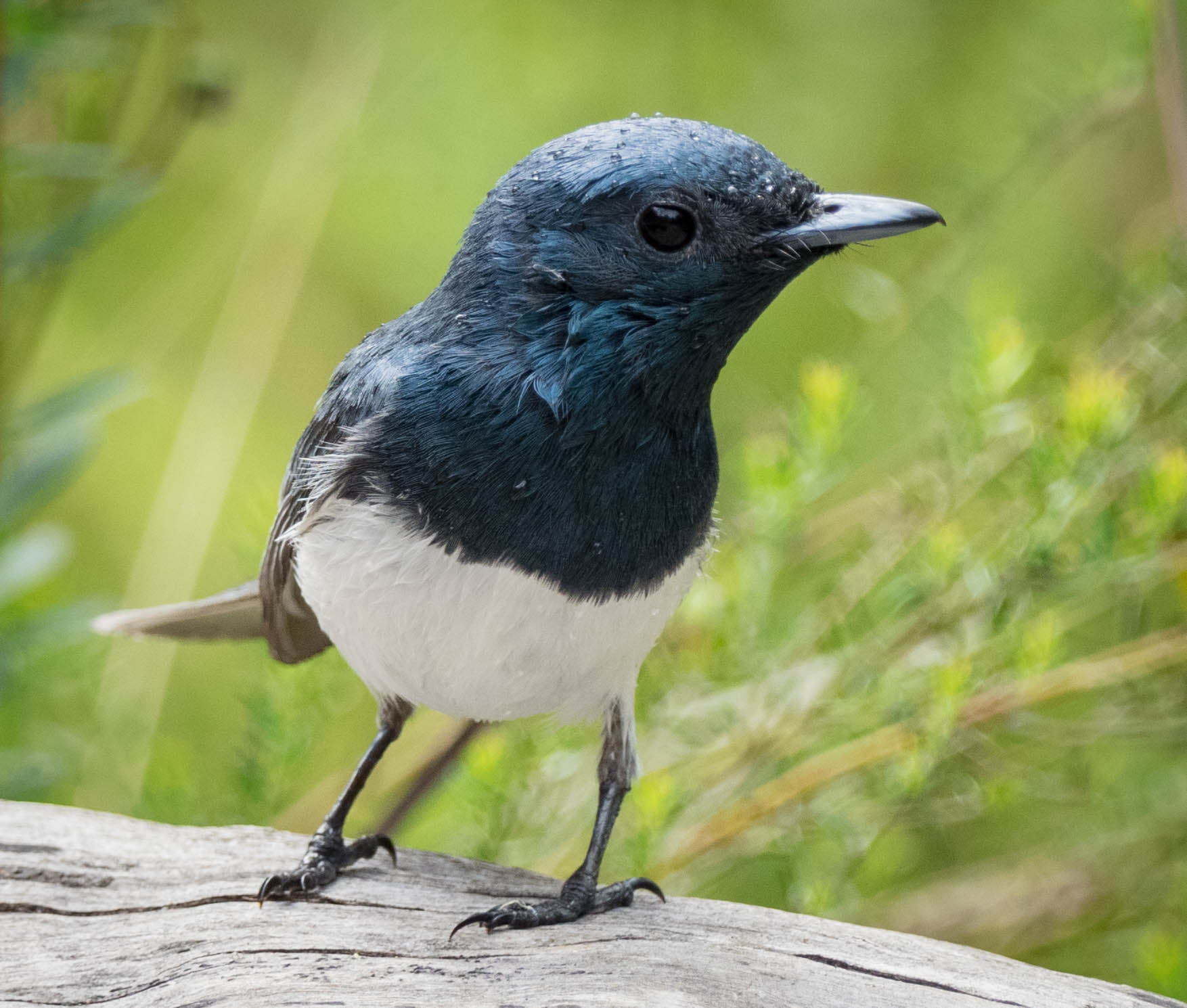 Leaden Flycatcher (male)