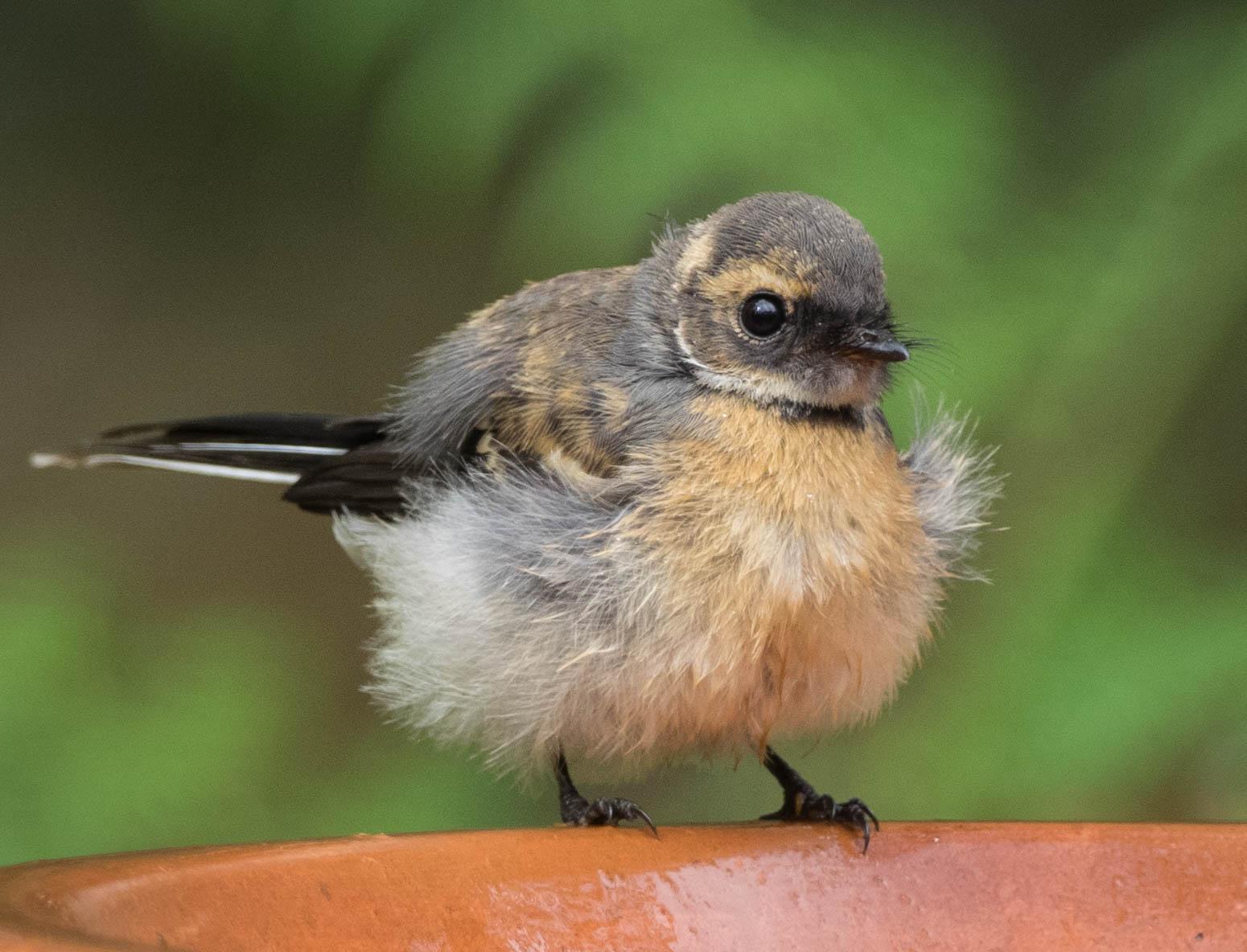 Grey Fantail (just-fledged juvenile)