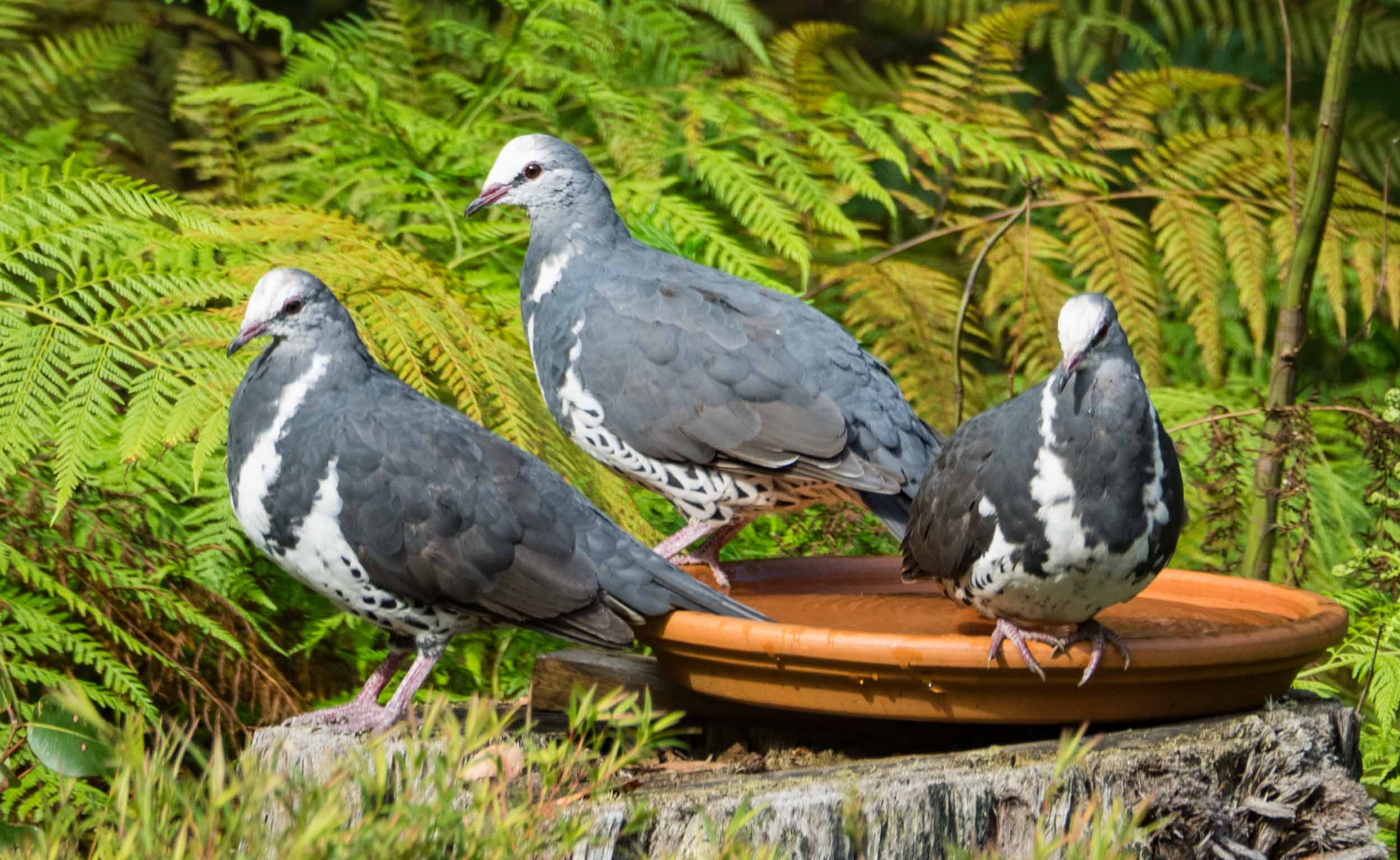 Wonga Pigeons (adult in centre, juveniles right & left)