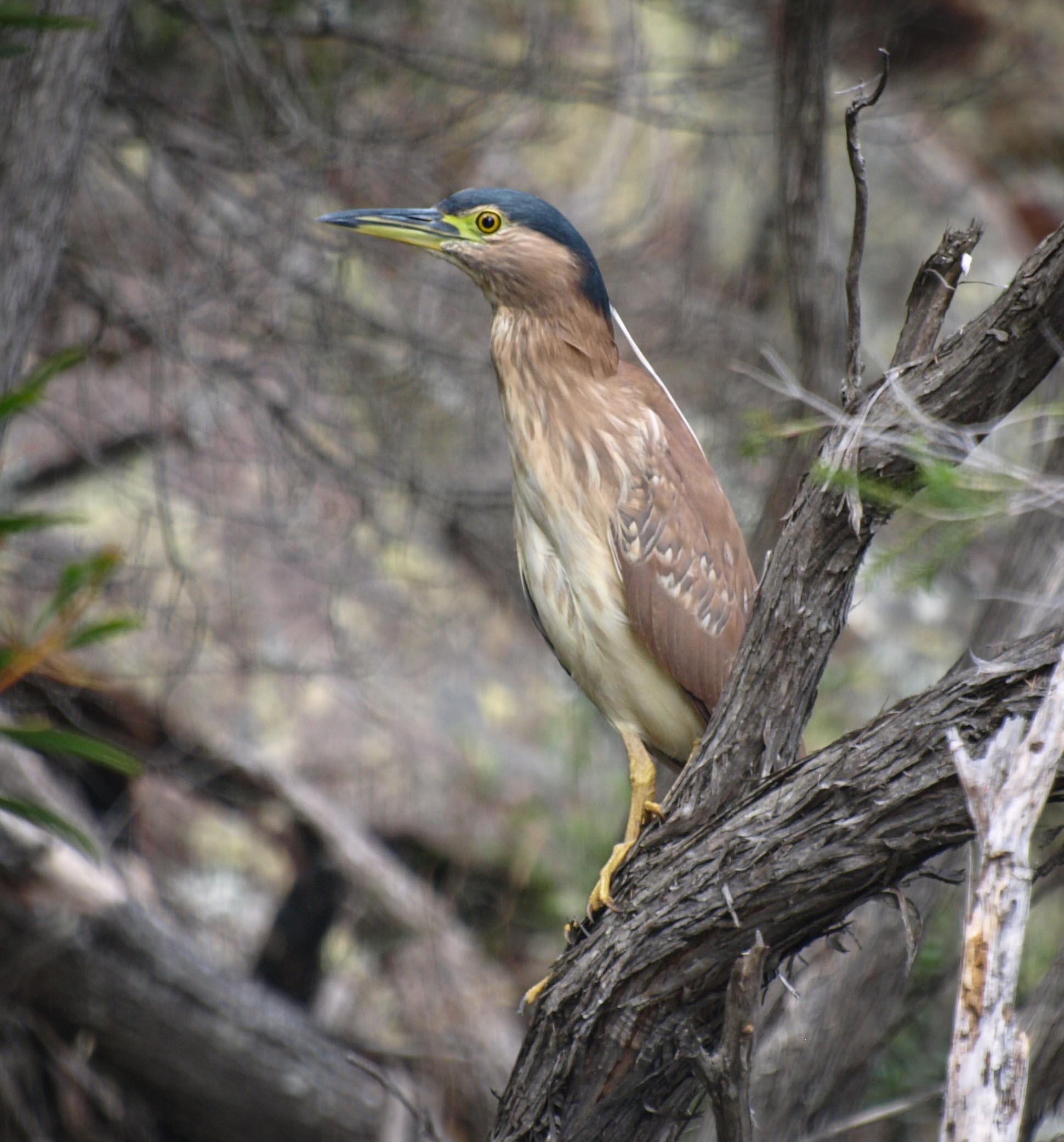 Nankeen Night-Heron (immature, about 1 yr)