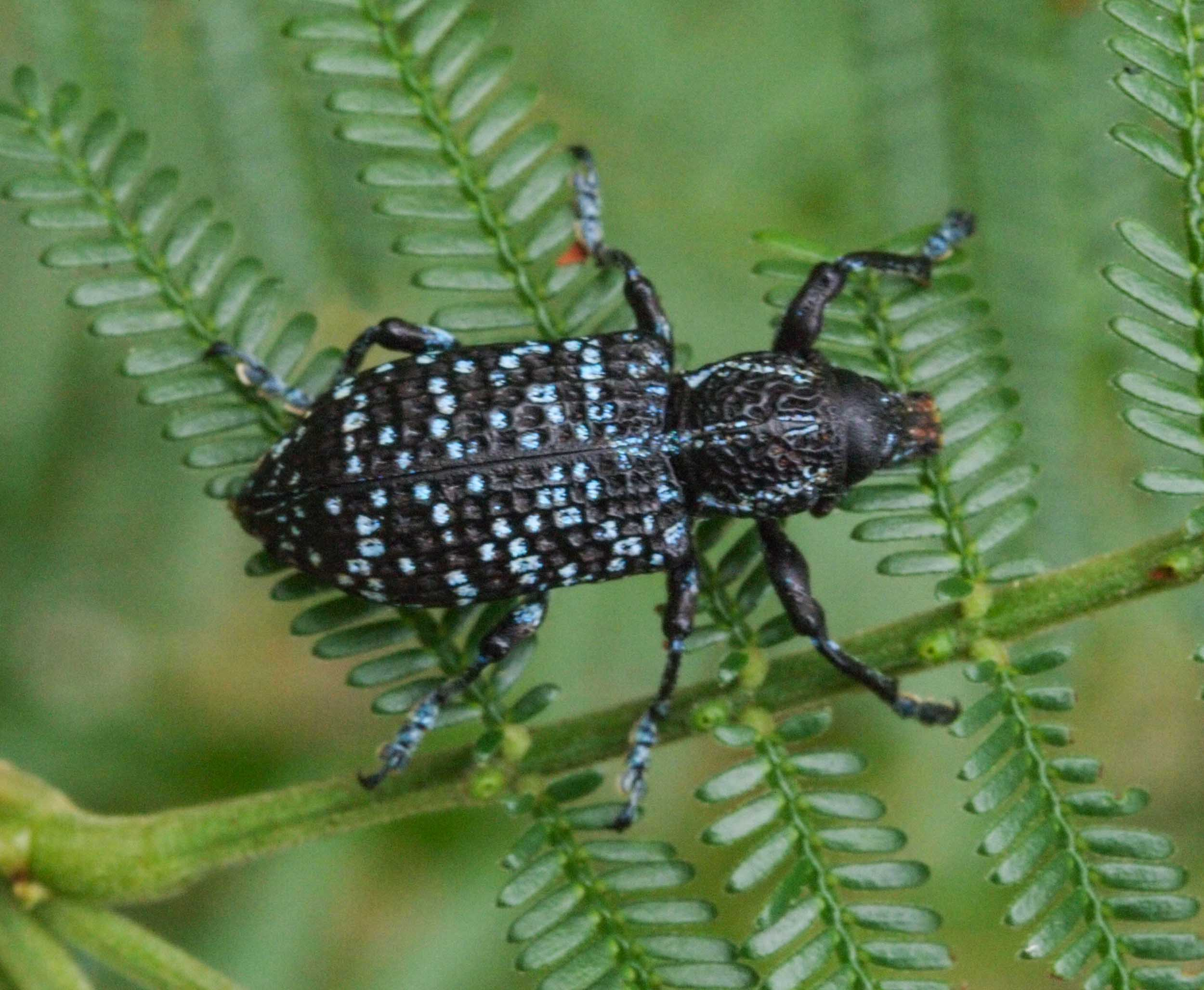 The leaves of A. terminalis are eaten by this insect, the Botany Bay Diamond Weevil,  Chrysolopus spectabilis .