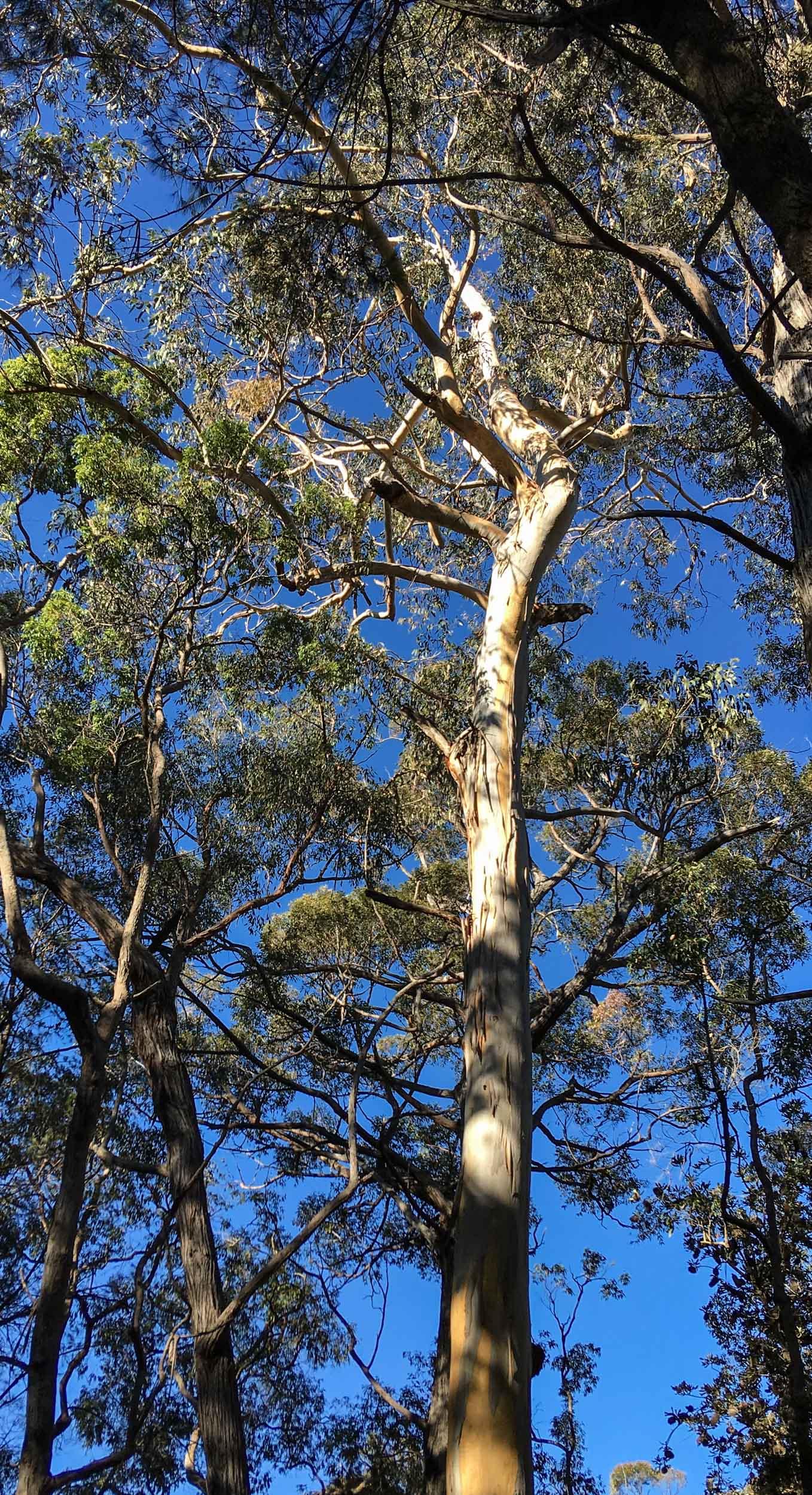 Eucalyptus cypellocarpa