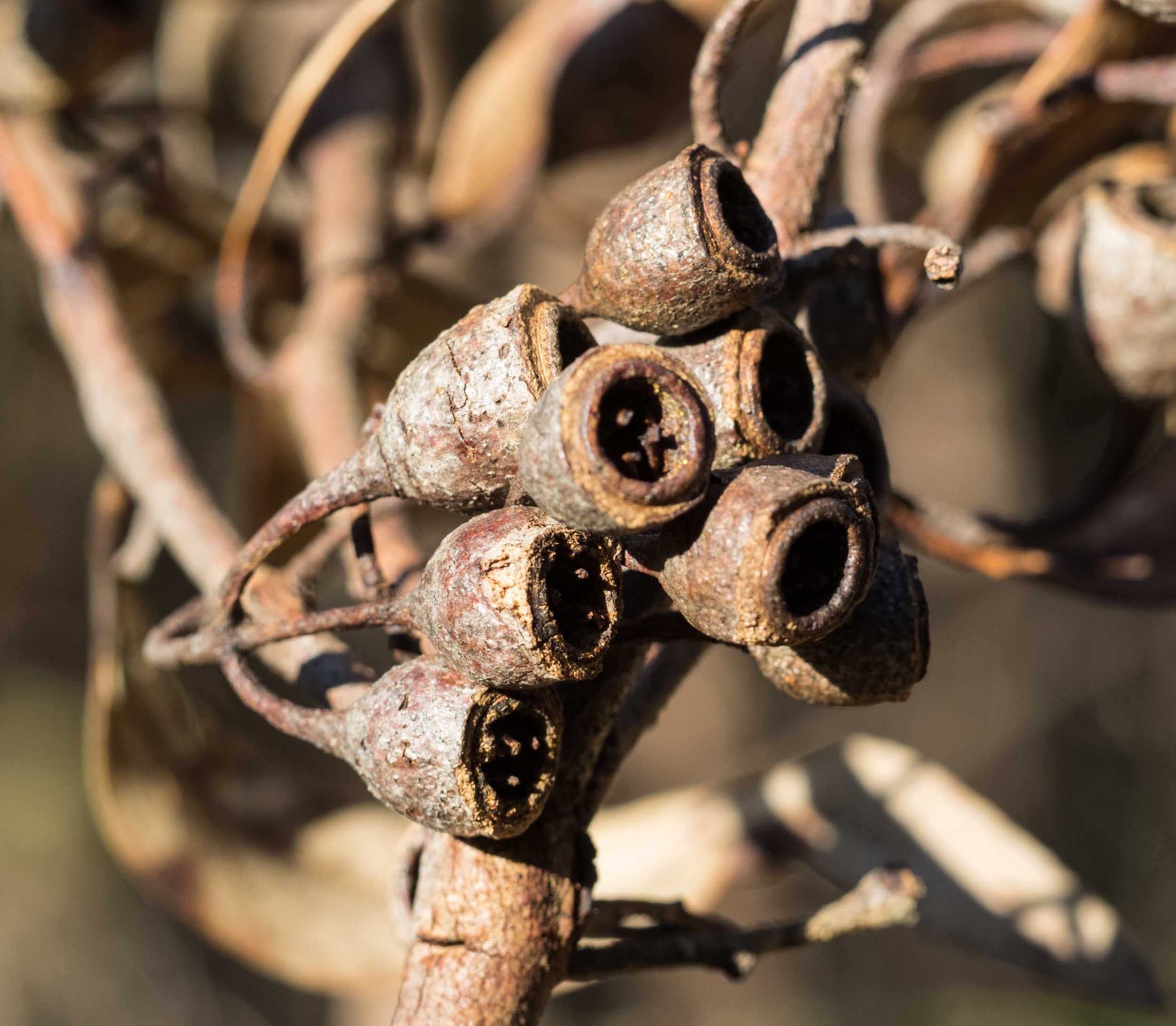 E. longifolia  fruit have a distinctive goblet shape