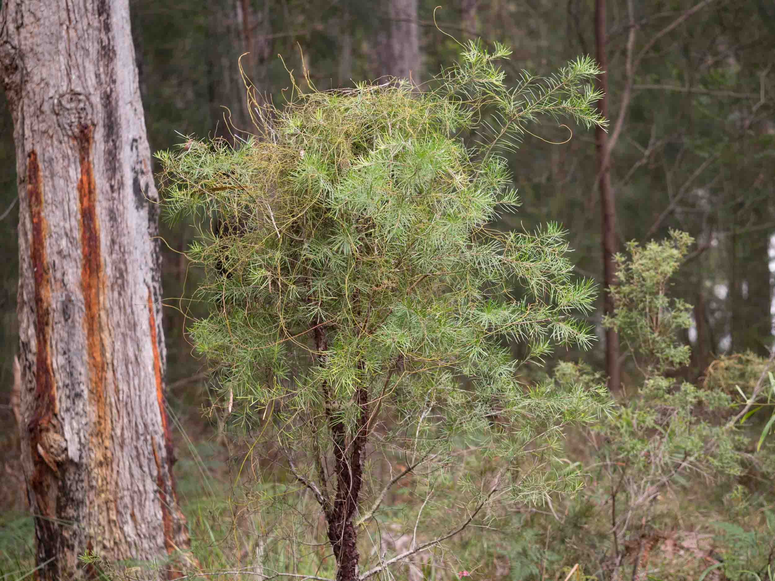 In this case,  Cassytha  has parasitised a small Geebung ( Persoonia linearis ), twining around the whole tree.