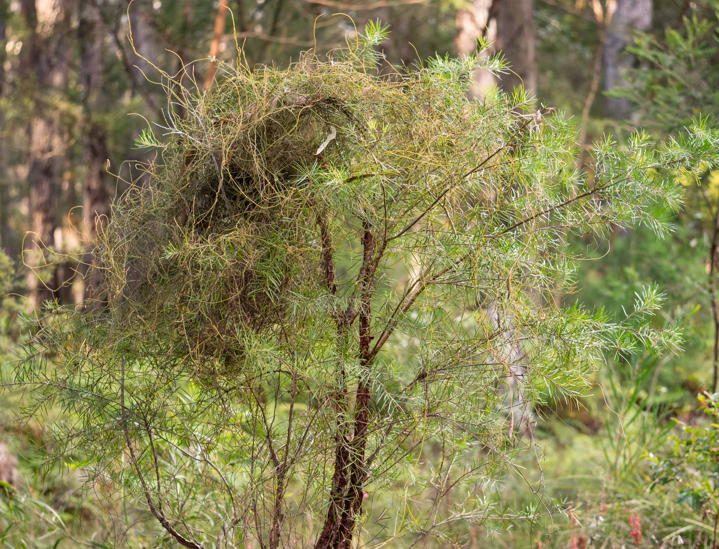 A family of Red-browed Finches has woven the  Cassytha  stems on this Geebung tree into a roosting nest.