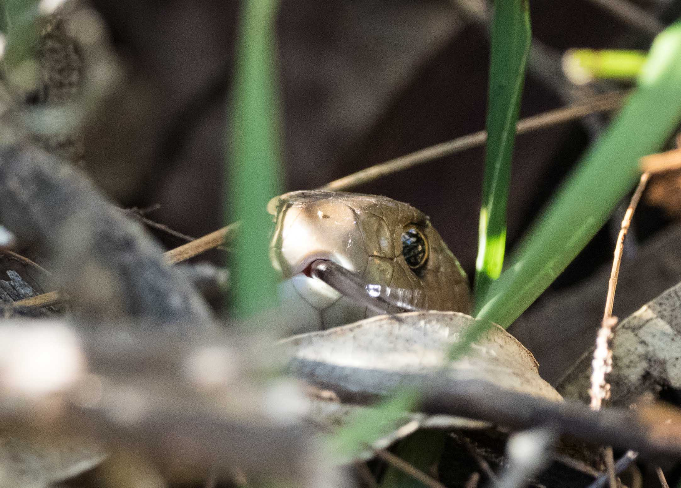 Eastern Brown Snake - shot 3
