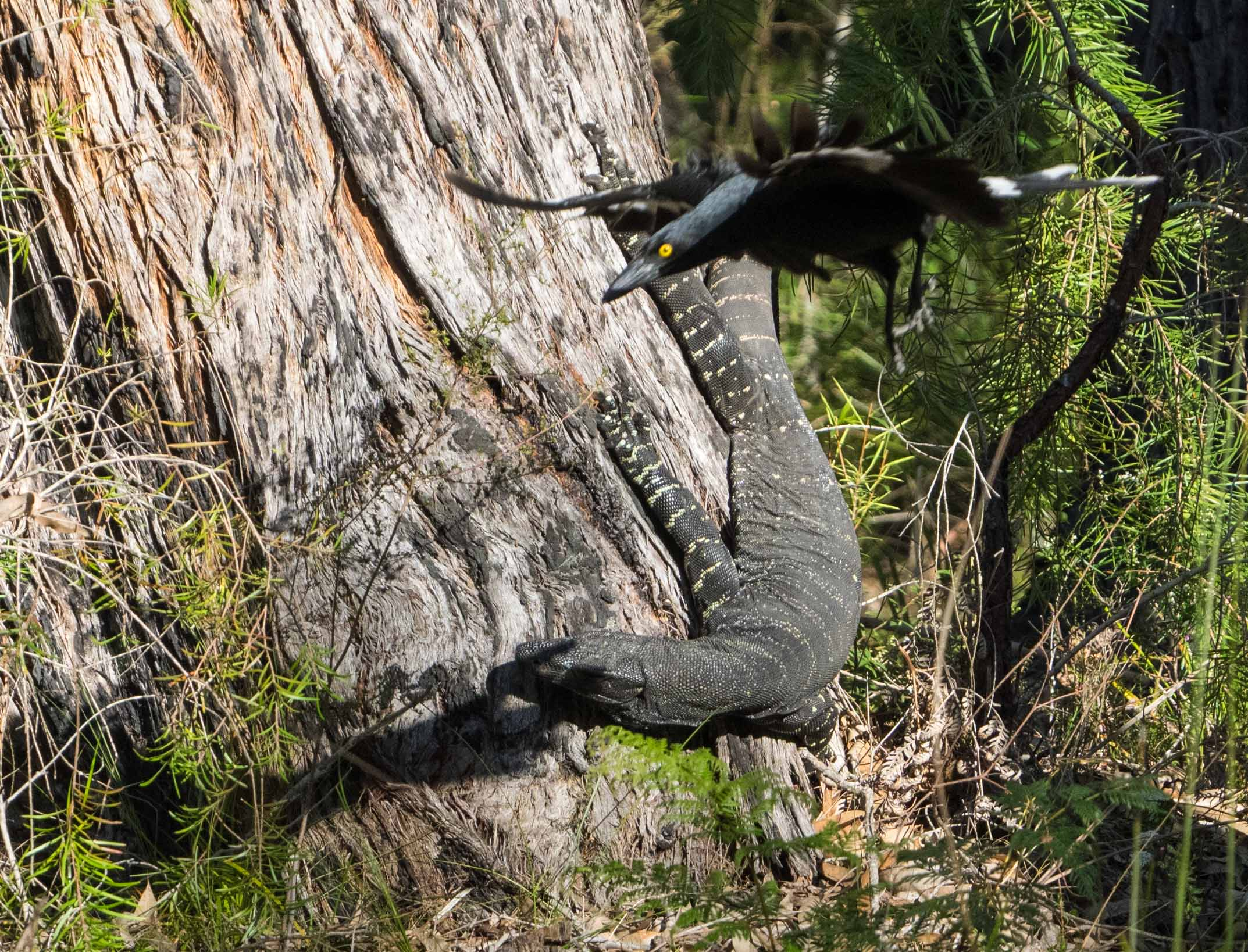 Currawong attack