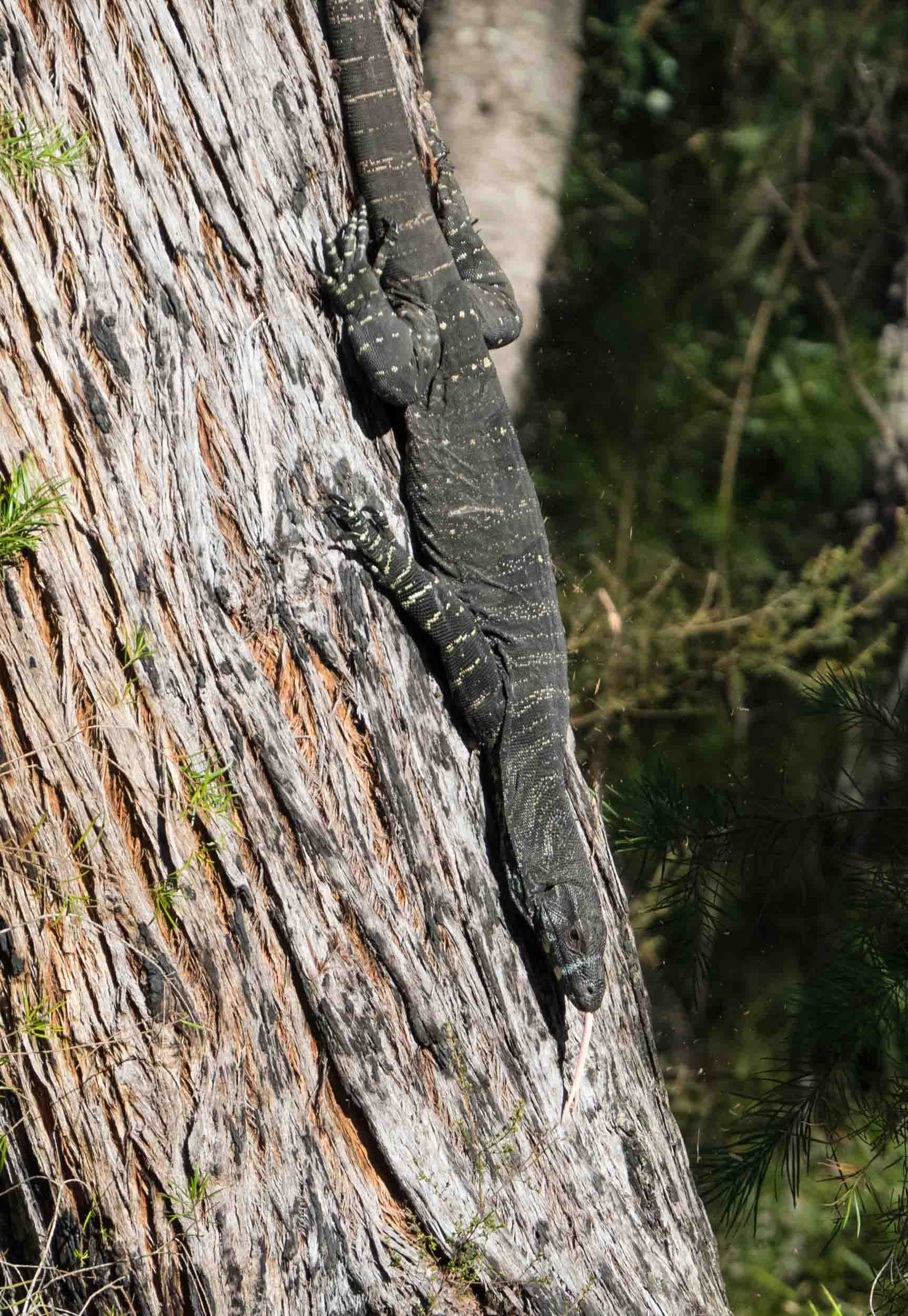 Retreating goanna