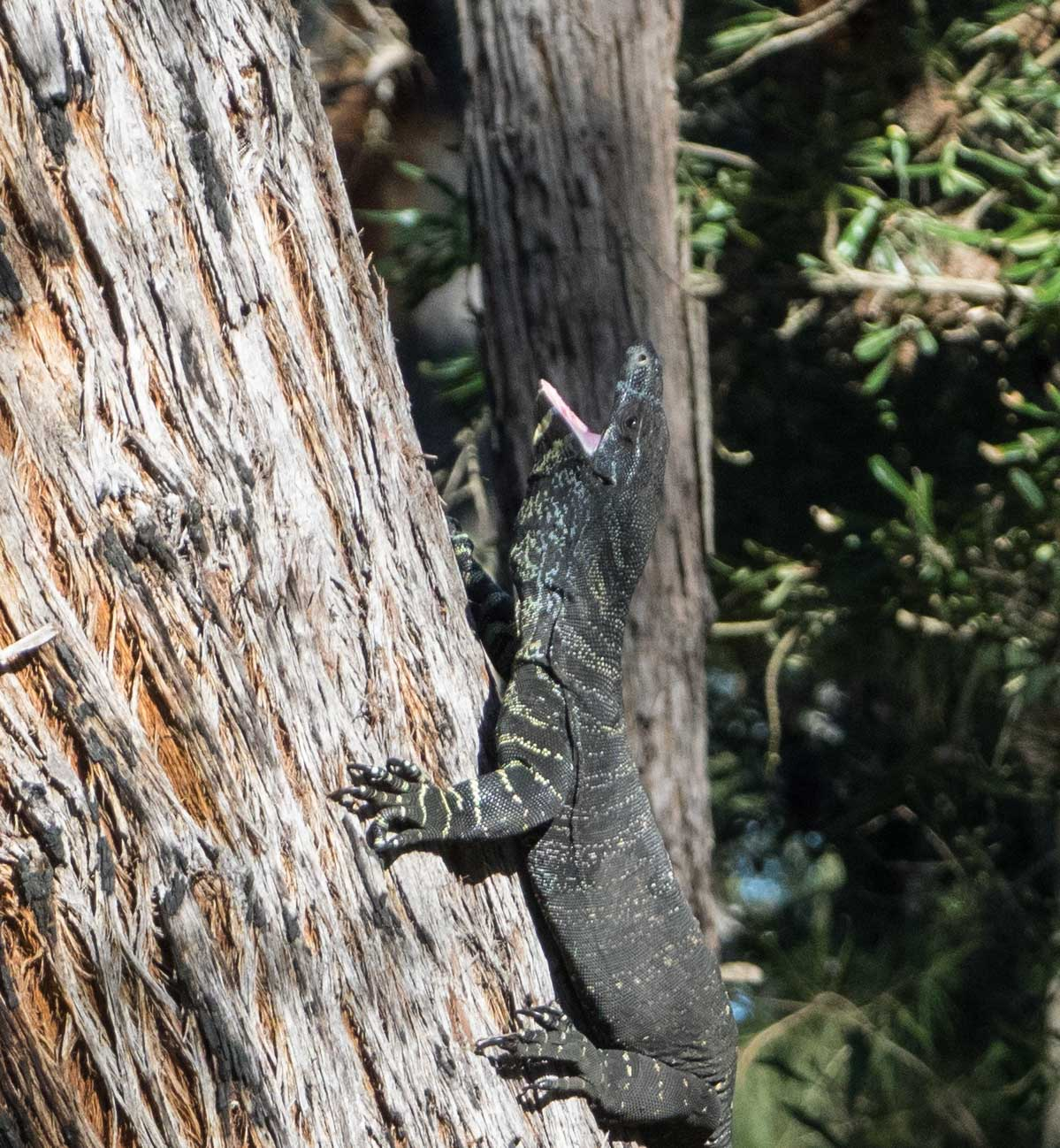 The goanna responds to the screaming Currawong with an impressive, open-mouthed 'hiss'.