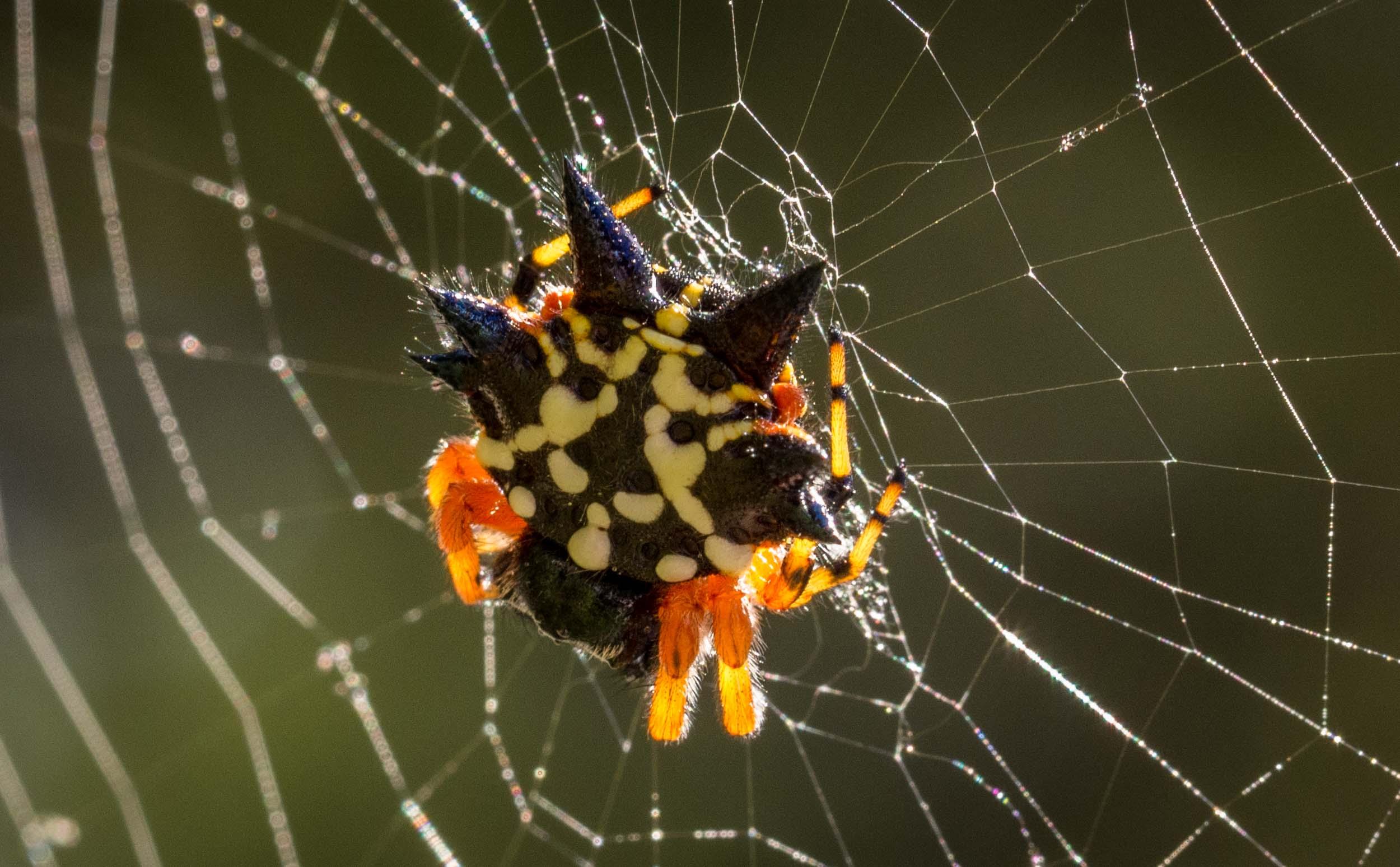 Australian Christmas Jewel Spider (female)