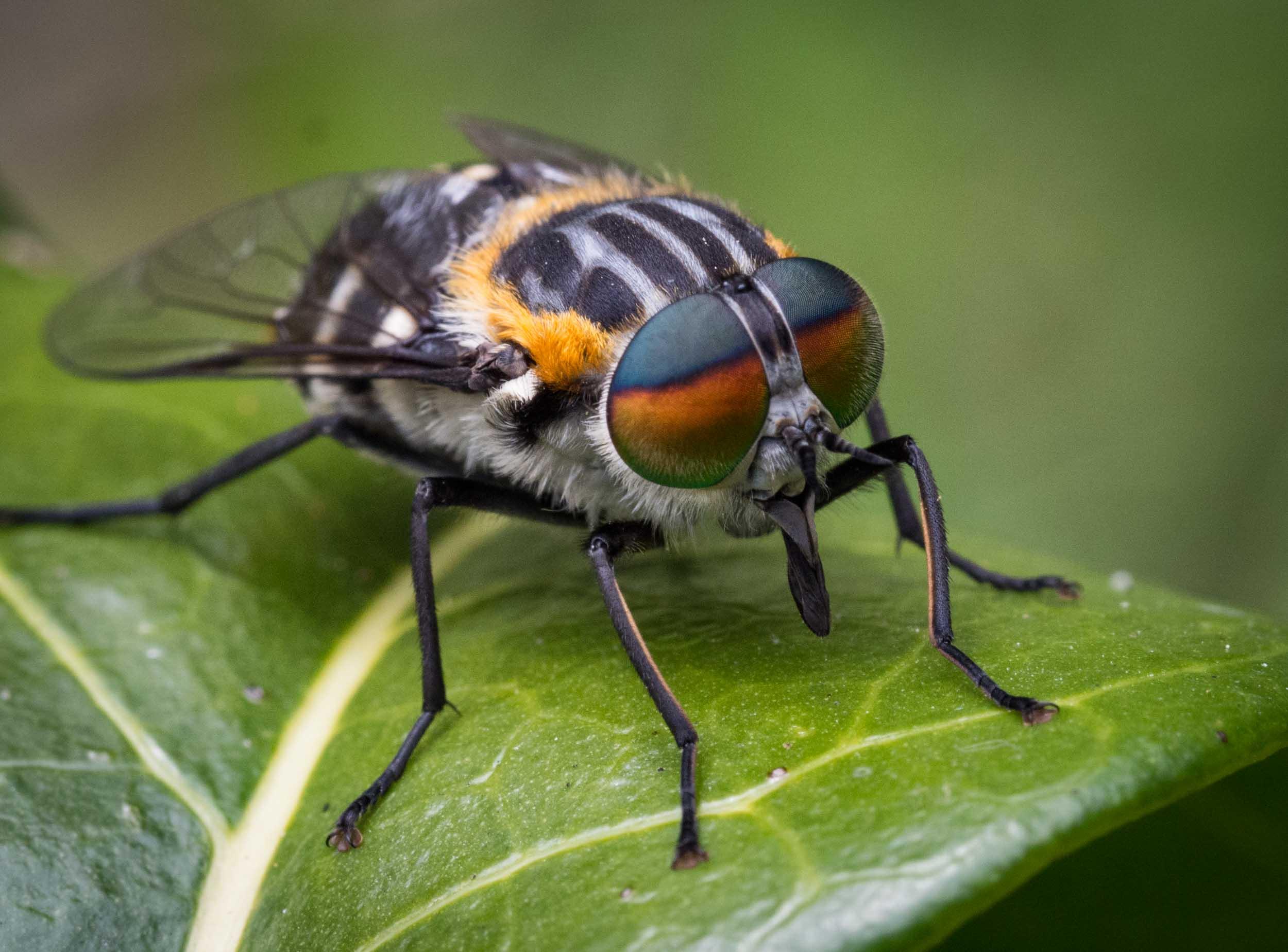 Flower-feeding March Fly