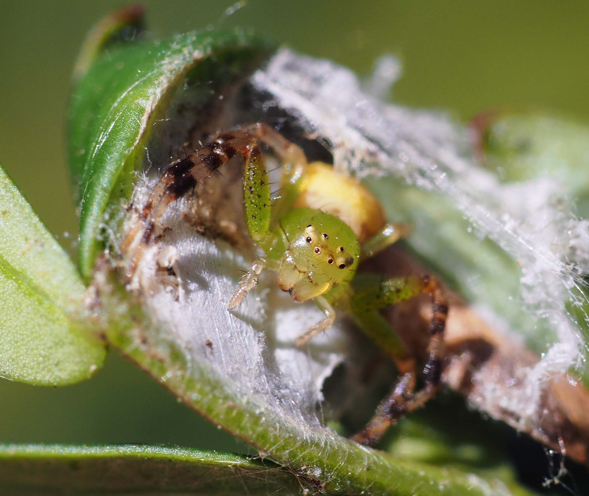 Lozenge-shaped Flower Spider (female)