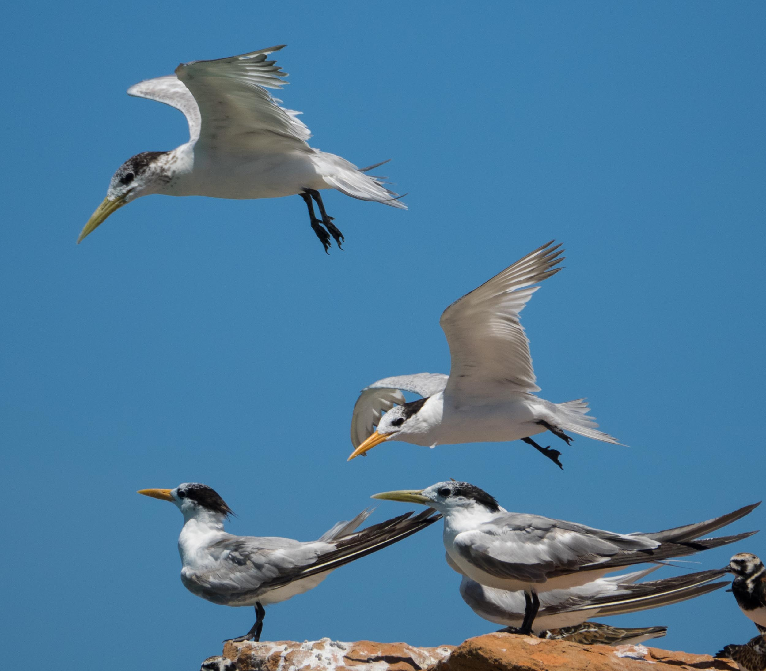 Crested Terns & Lesser Crested Terns