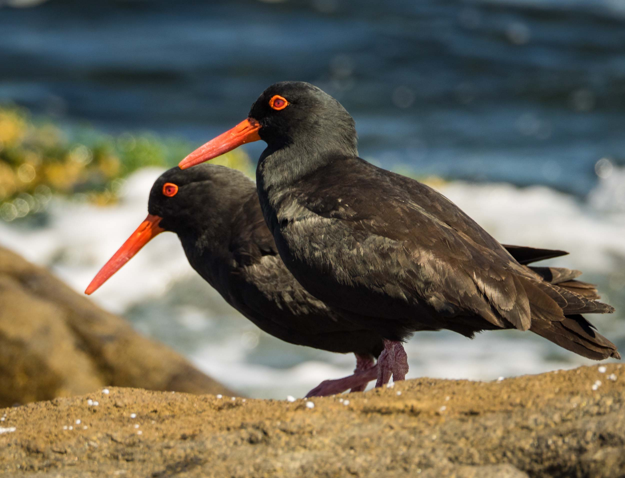 Sooty Oystercatchers (male & female)