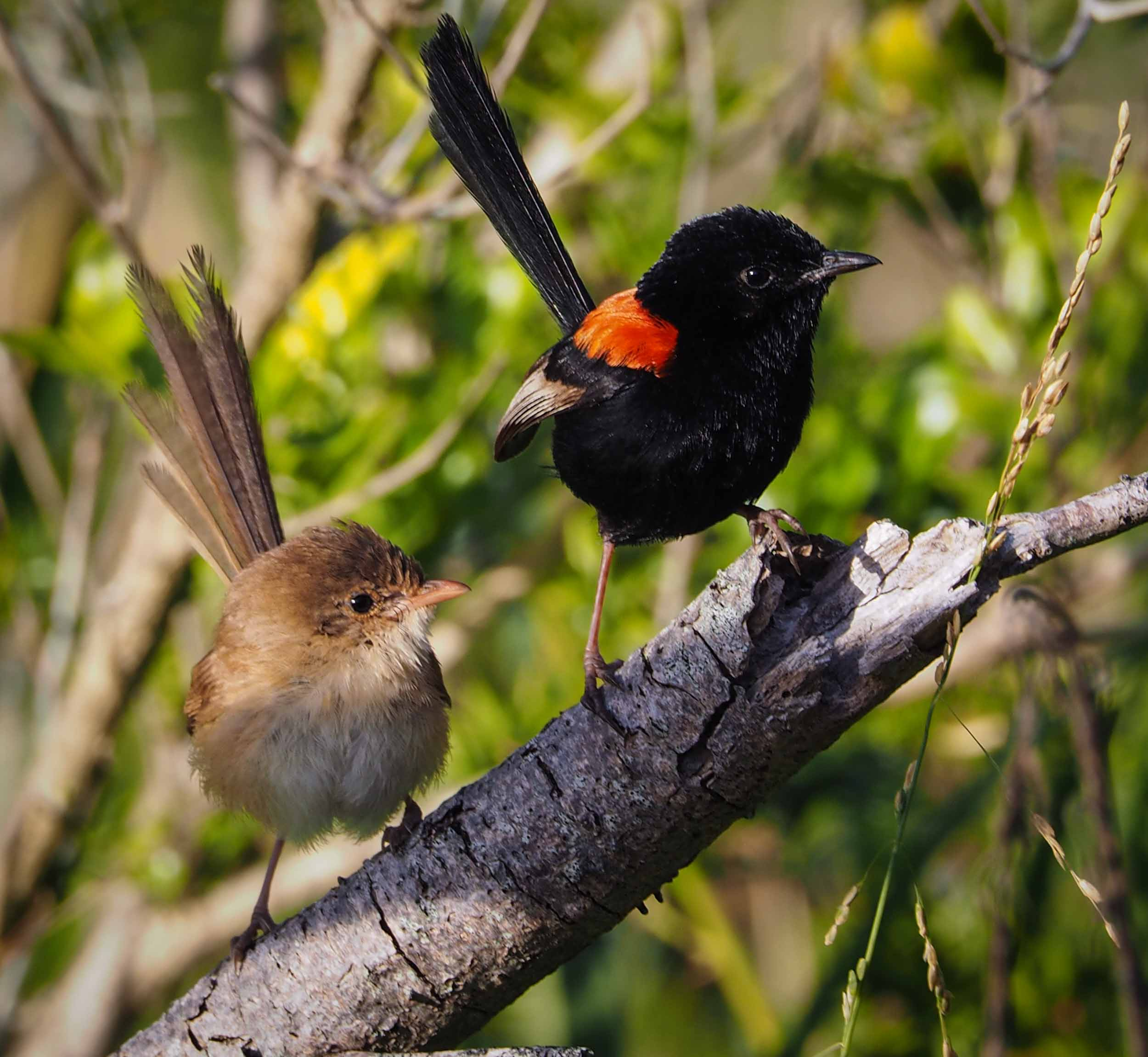 Red-backed Fairy-wren (female & male)