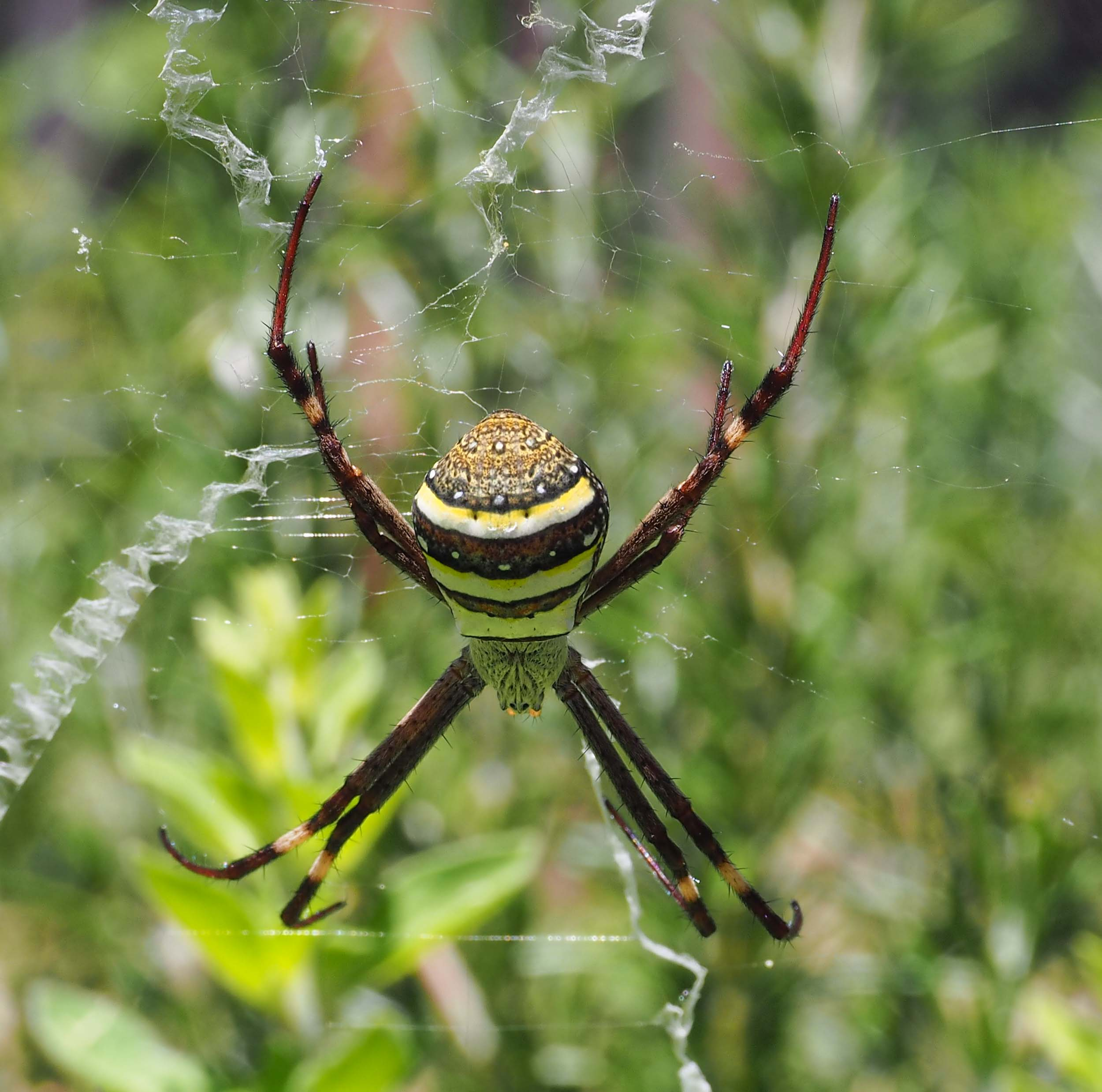 The female  A. keyserlingi  is 16-20mm long from the front to the back of the body (excluding legs). This one is sitting in the web in a typical resting posture - on each side of the body, the first and second legs are held together as are the third and fourth.