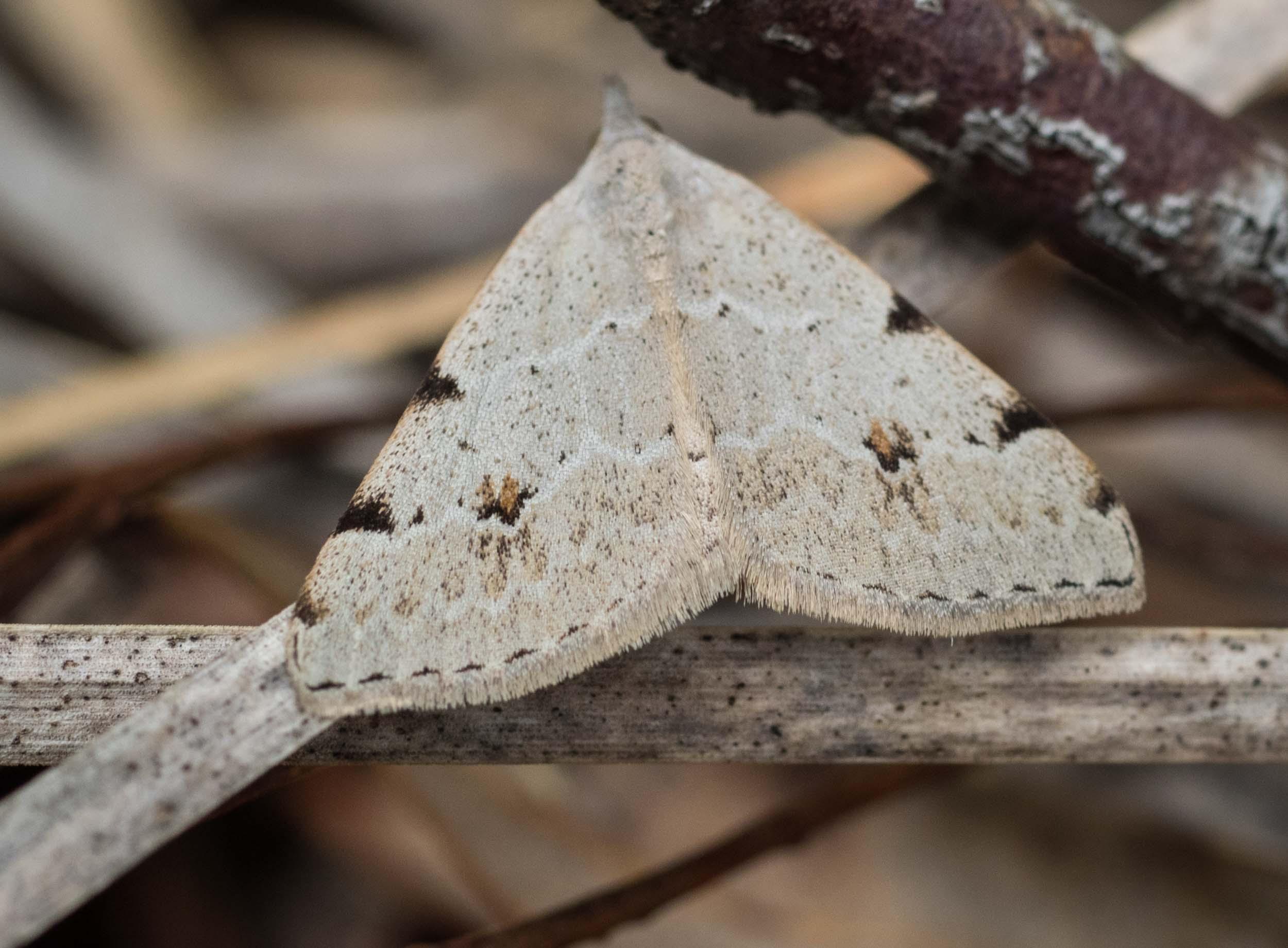 Pale Grey Heath Moth