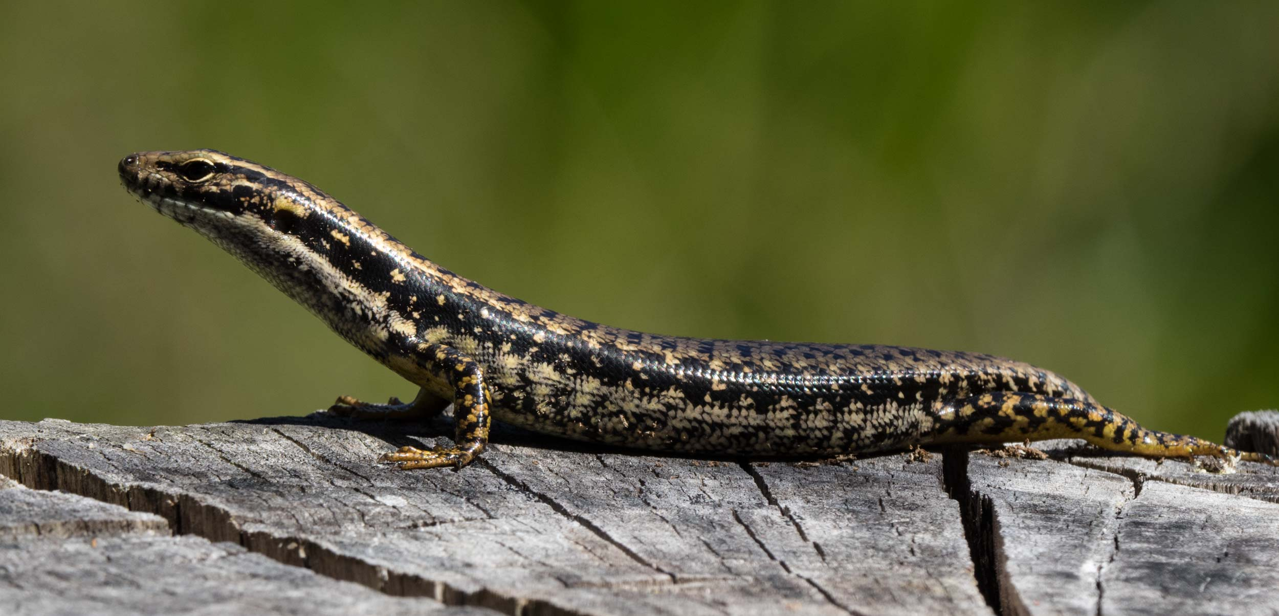 Yellow-bellied Water-Skink