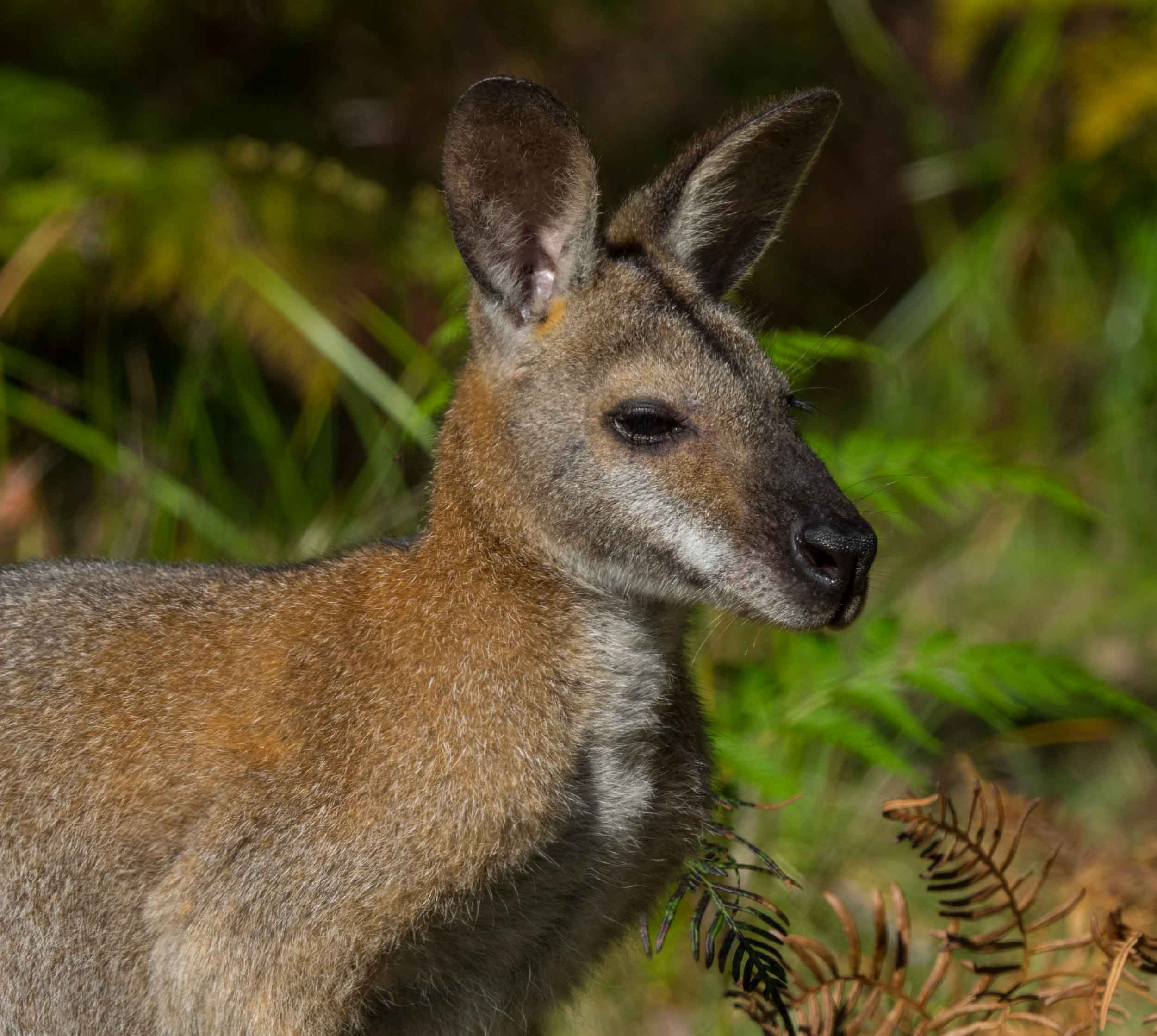 Red-necked Wallaby (male)