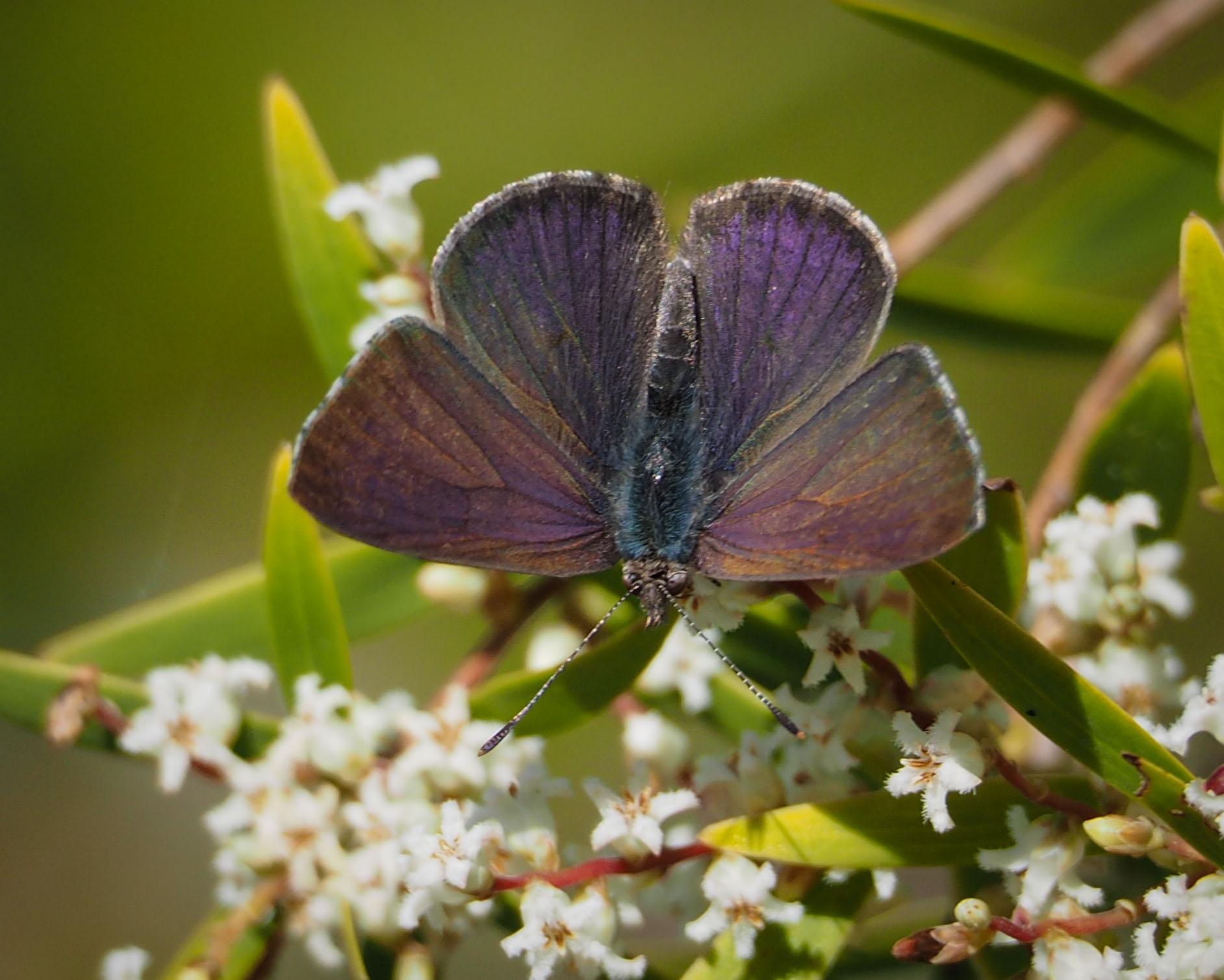 Common Dusky Blue (male)