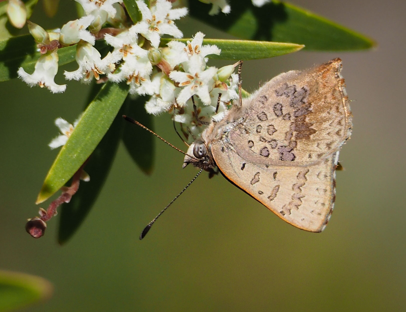Bright Copper (female)