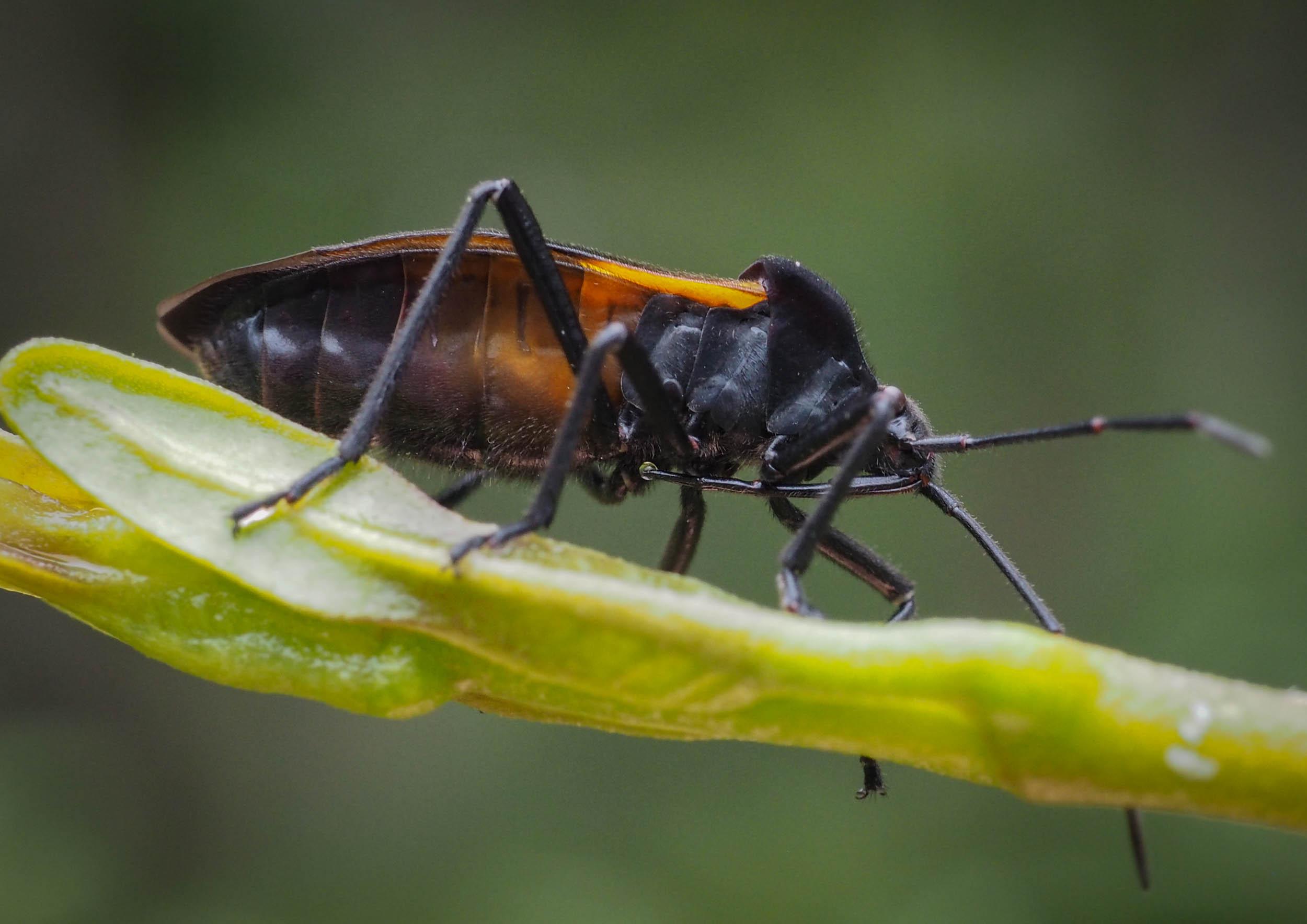 Milk Vine Bug