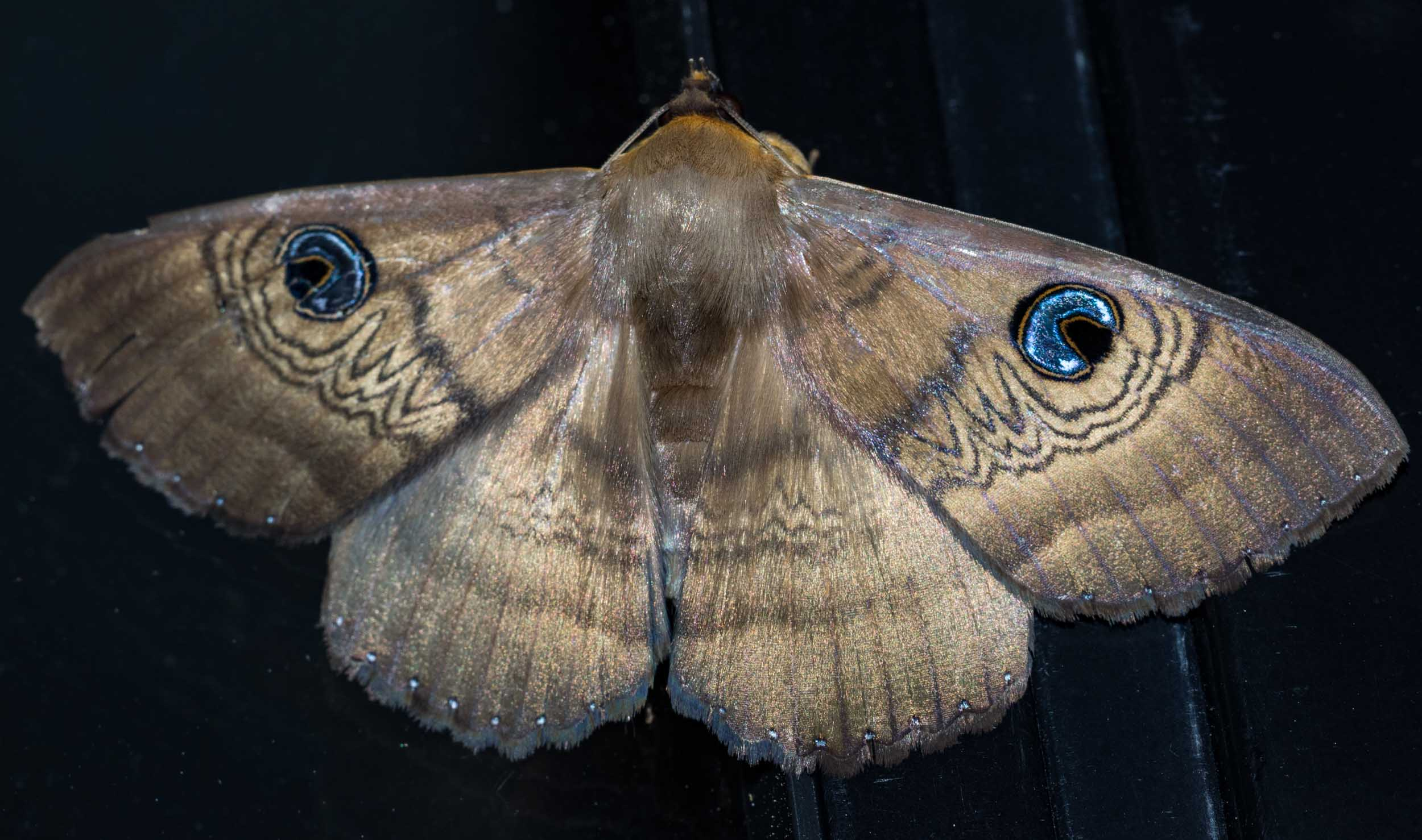 Southern Old Lady Moth