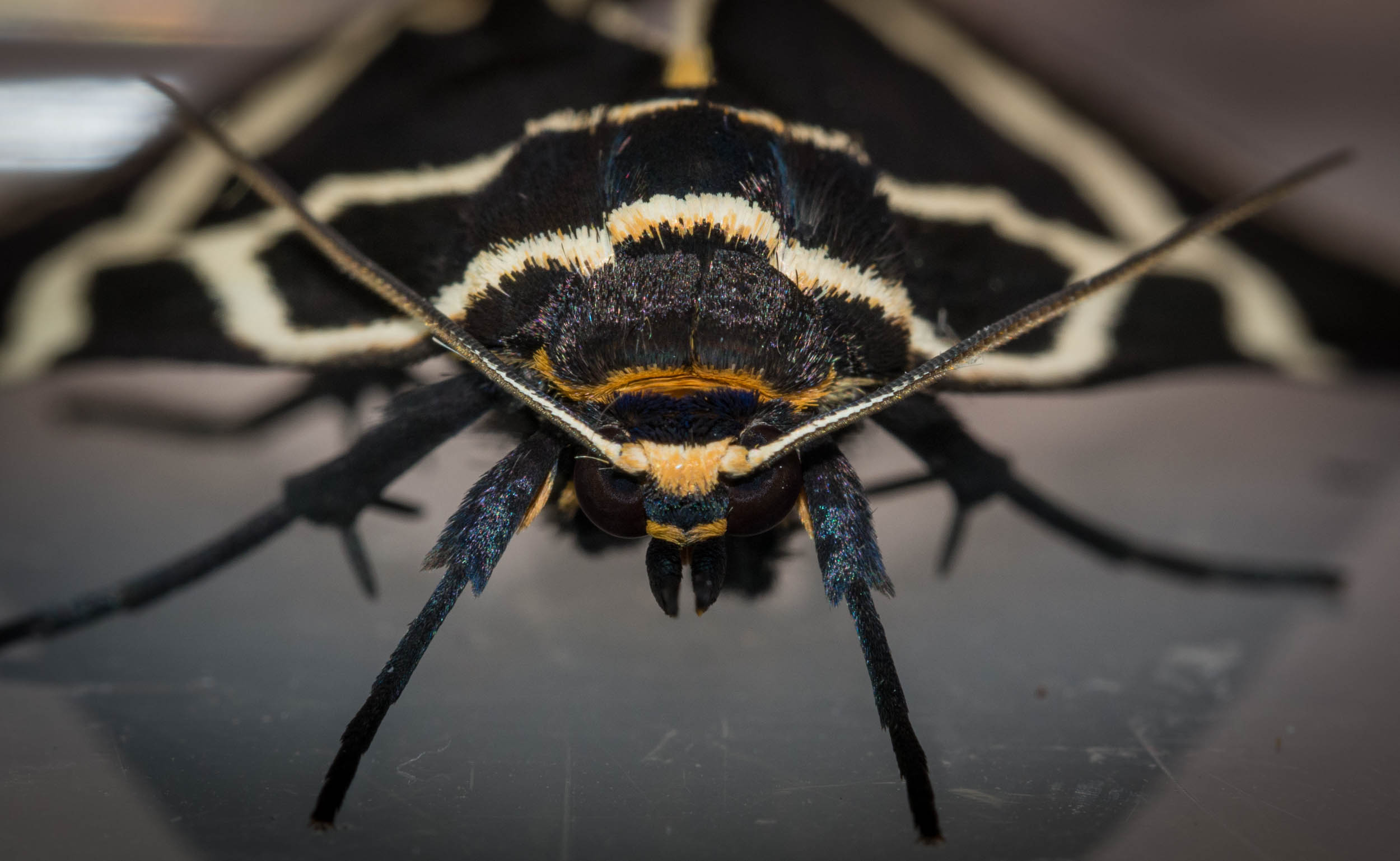 'Milk vine' moth