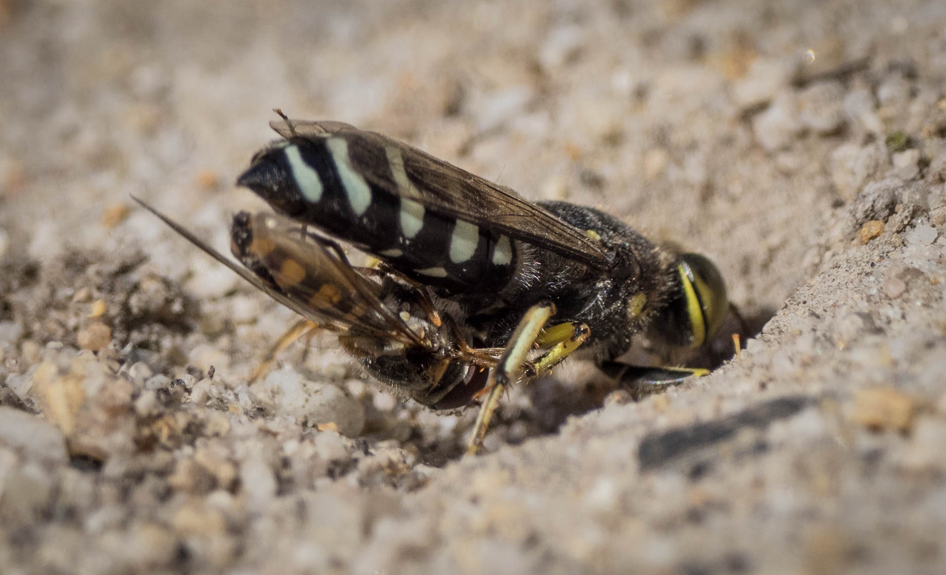 Sand Wasp