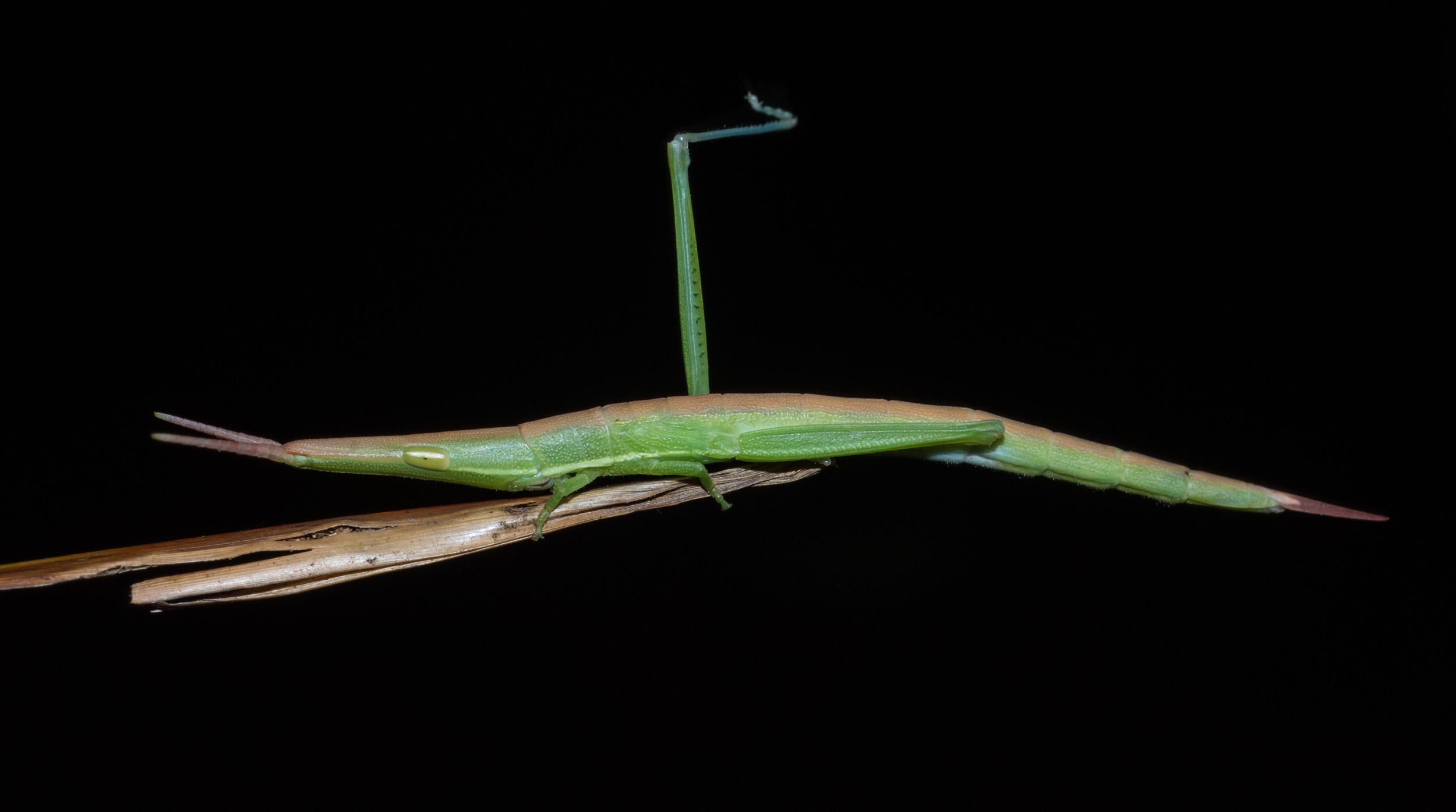 Common Psednura
