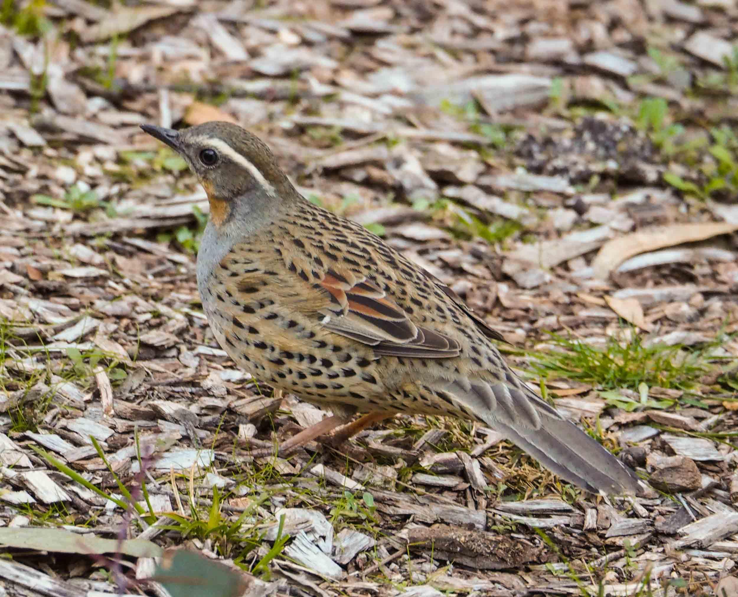 Spotted Quail-thrush (female)