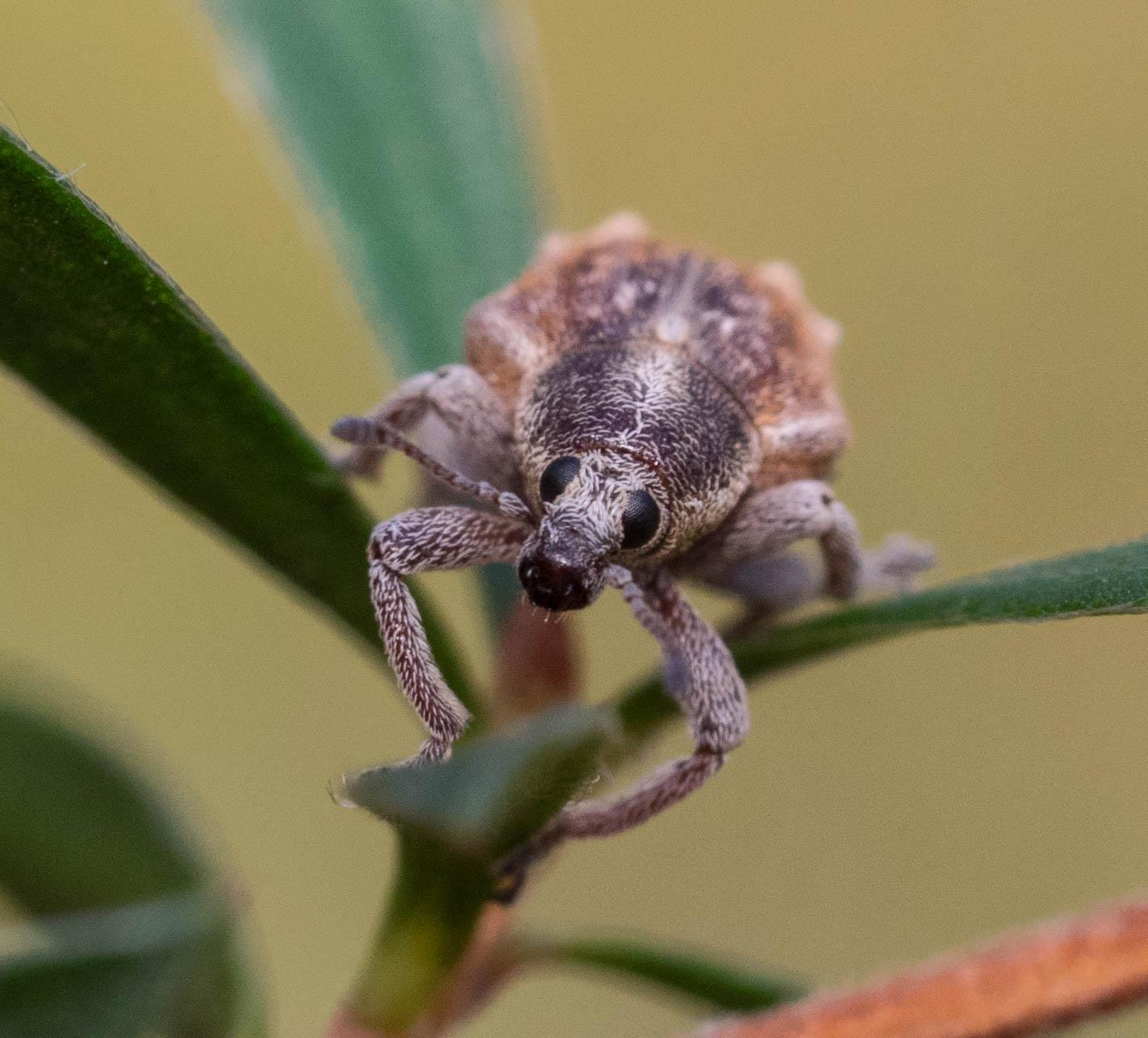 Gonipterus sp ., I think.