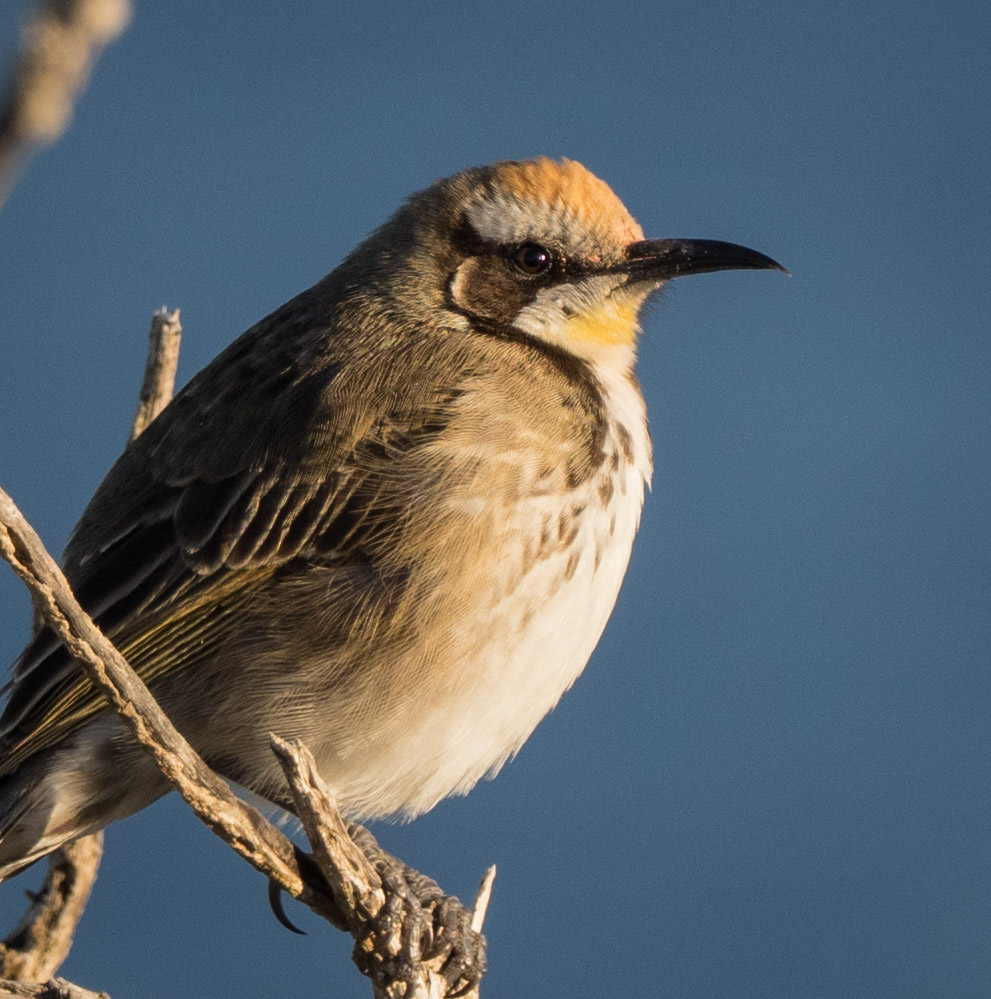 Tawny-crowned Honeyeater ( Glyciphila melanops ) - a sub-adult, still with the yellow throat feathers of its juvenile plumage.