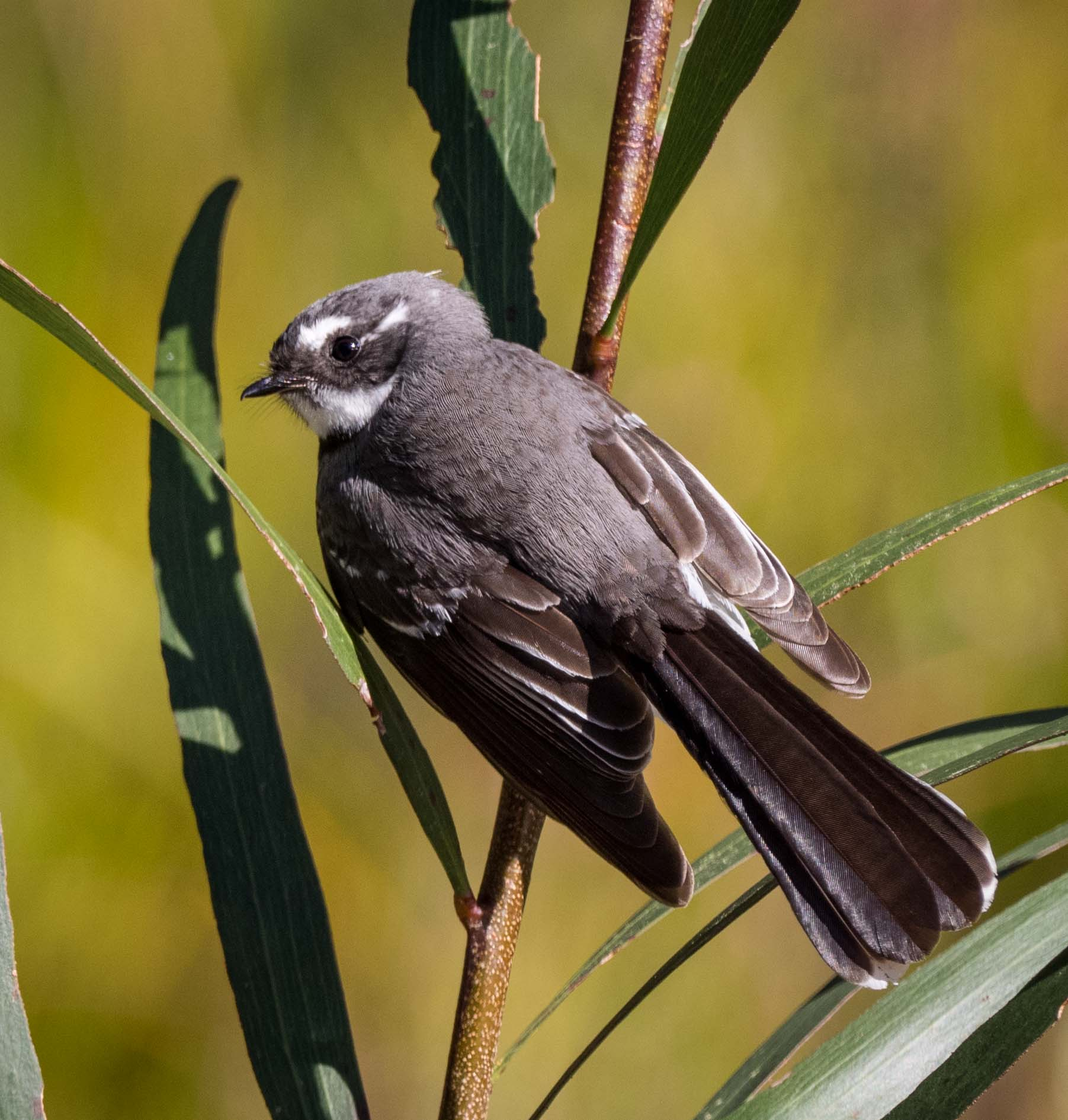 Grey Fantail ( Rhipidura albiscapa )