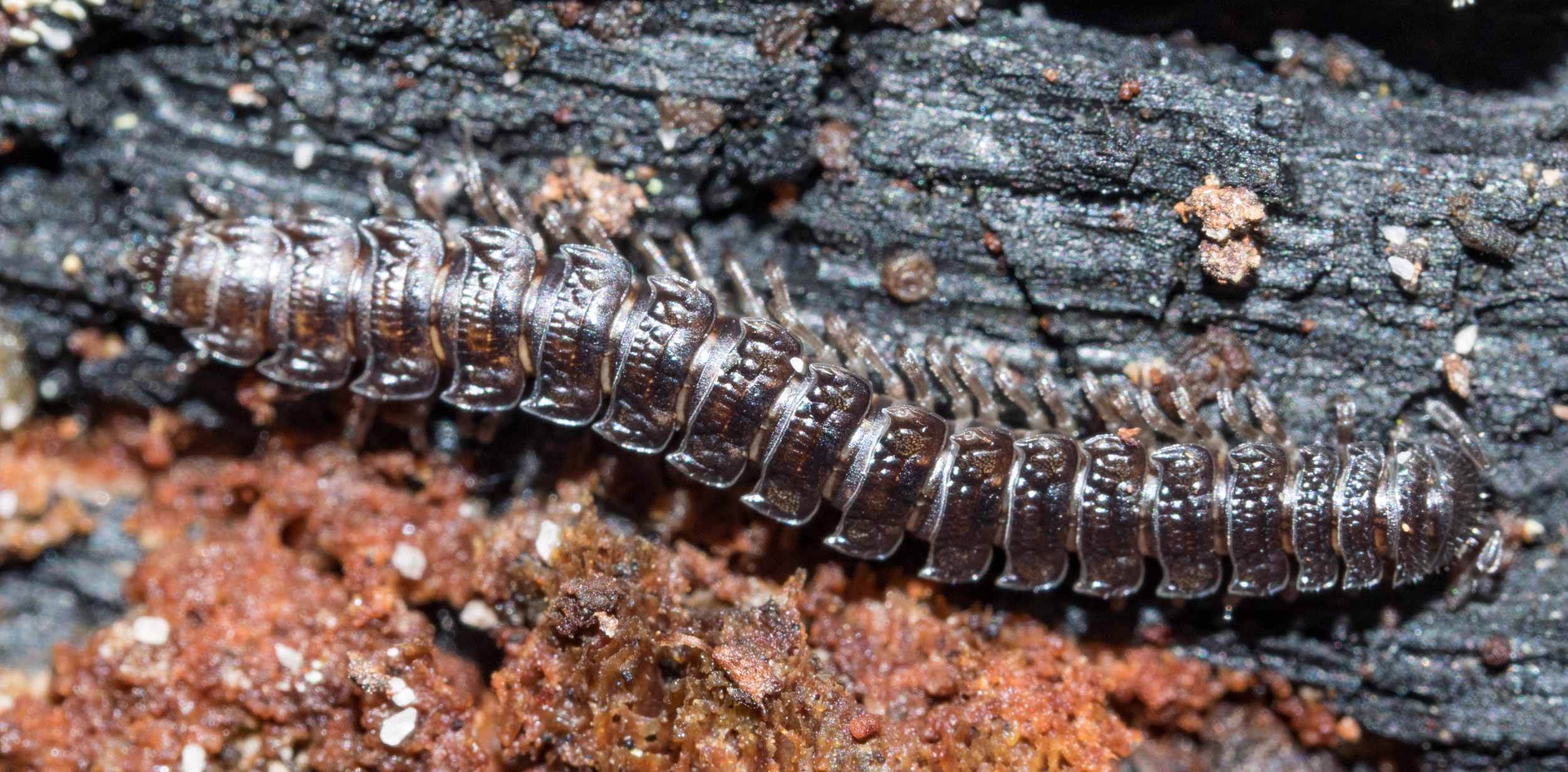 This millipede (Family Paradoxosomatidae) was overwintering under the bark of the log.