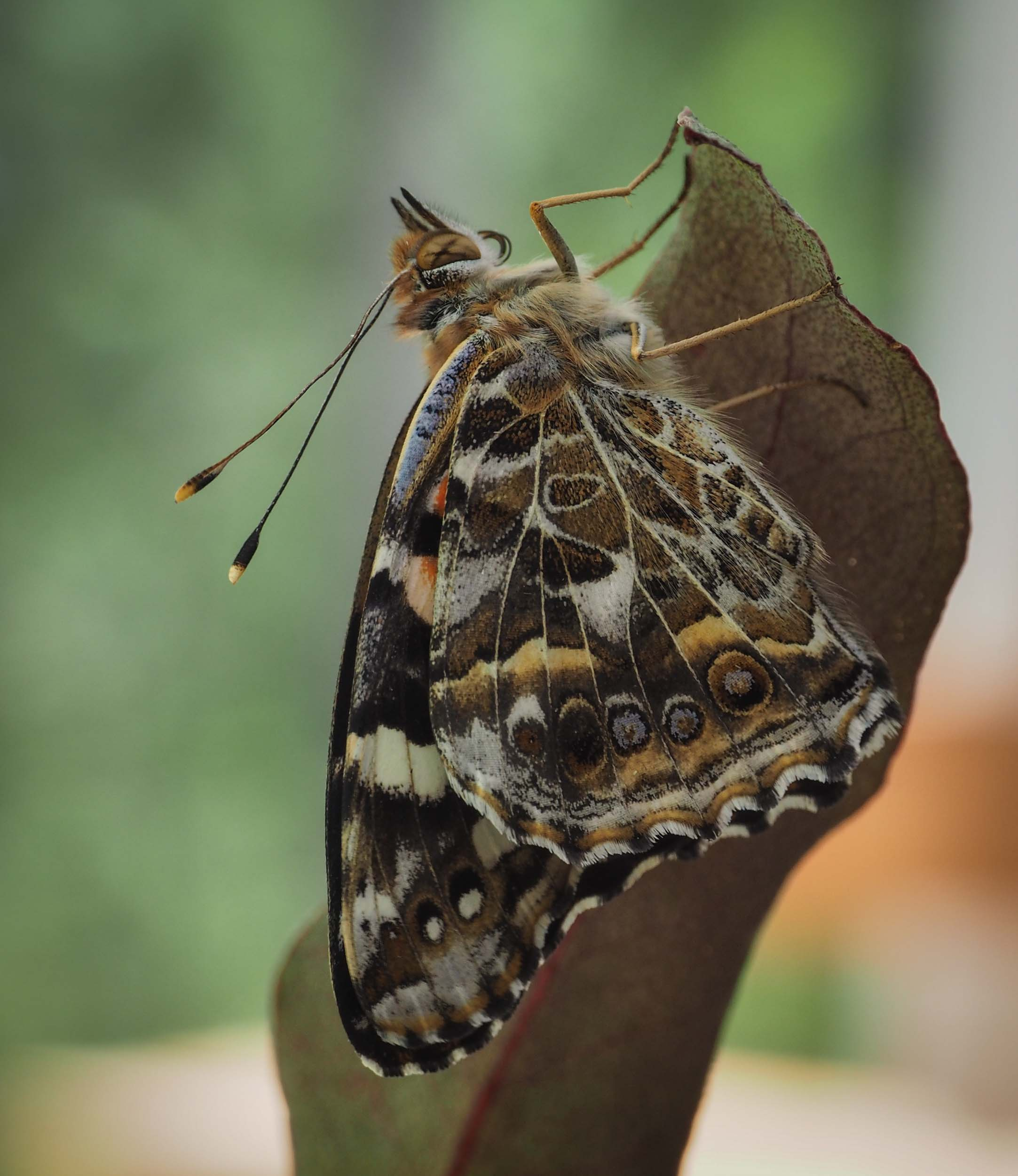 Newly eclosed  Vanessa kershawi , with wings not fully expanded.