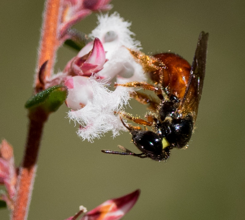 Exoneura doesn't have a specialised pollen basket - just a dense mass of long, golden hairs on the hindlegs.